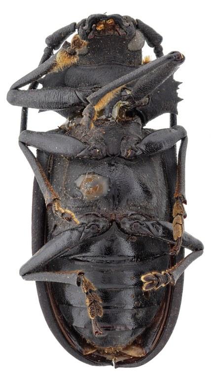 Pixodarus exasperatus inflatus ht M V.jpg