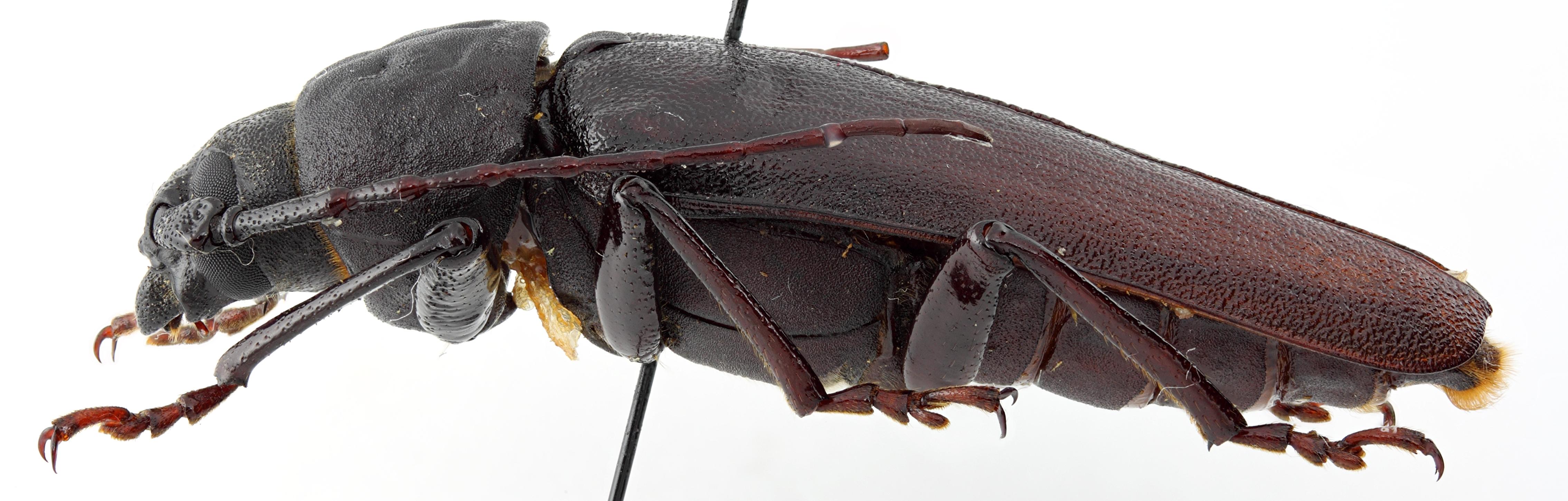 Prinobius samai 01 BL Holotype M 044 BRUS 201405.jpg