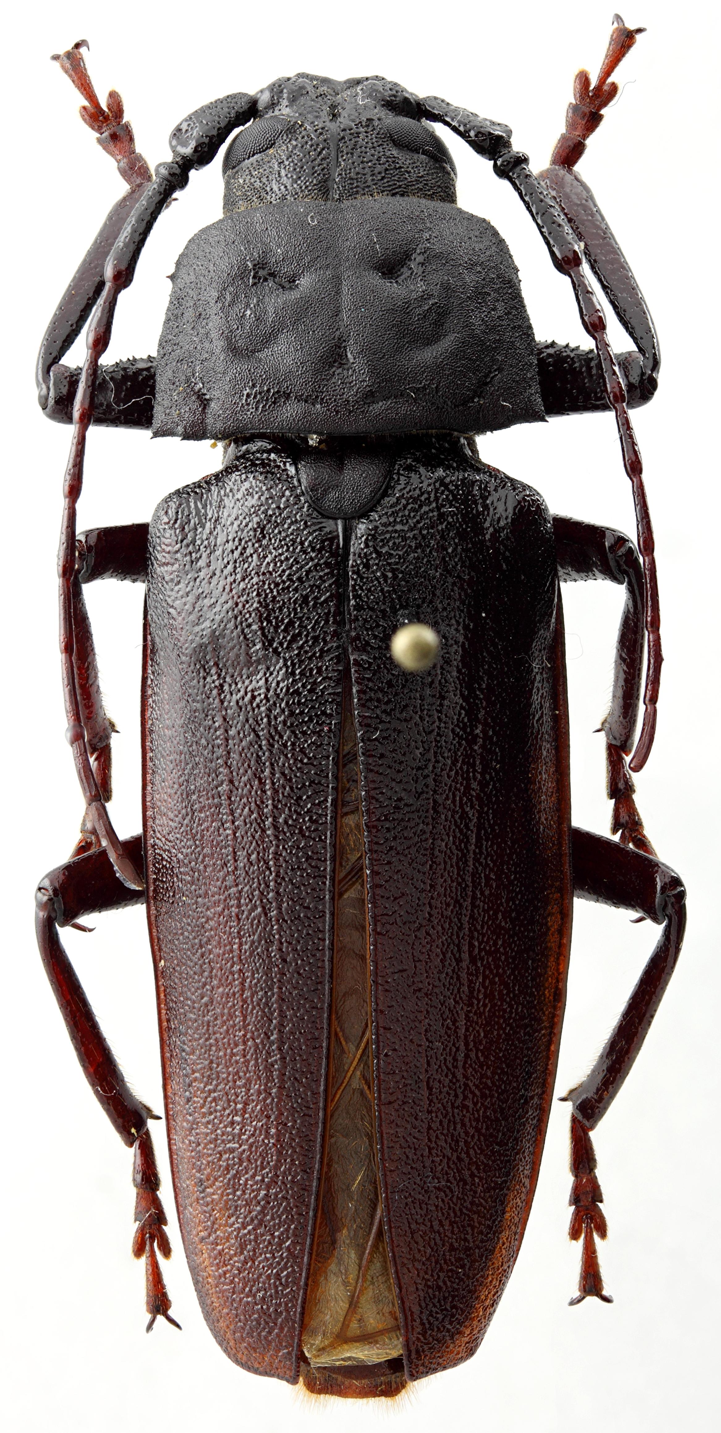Prinobius samai 01 HP Holotype M 044 BRUS 201405.jpg