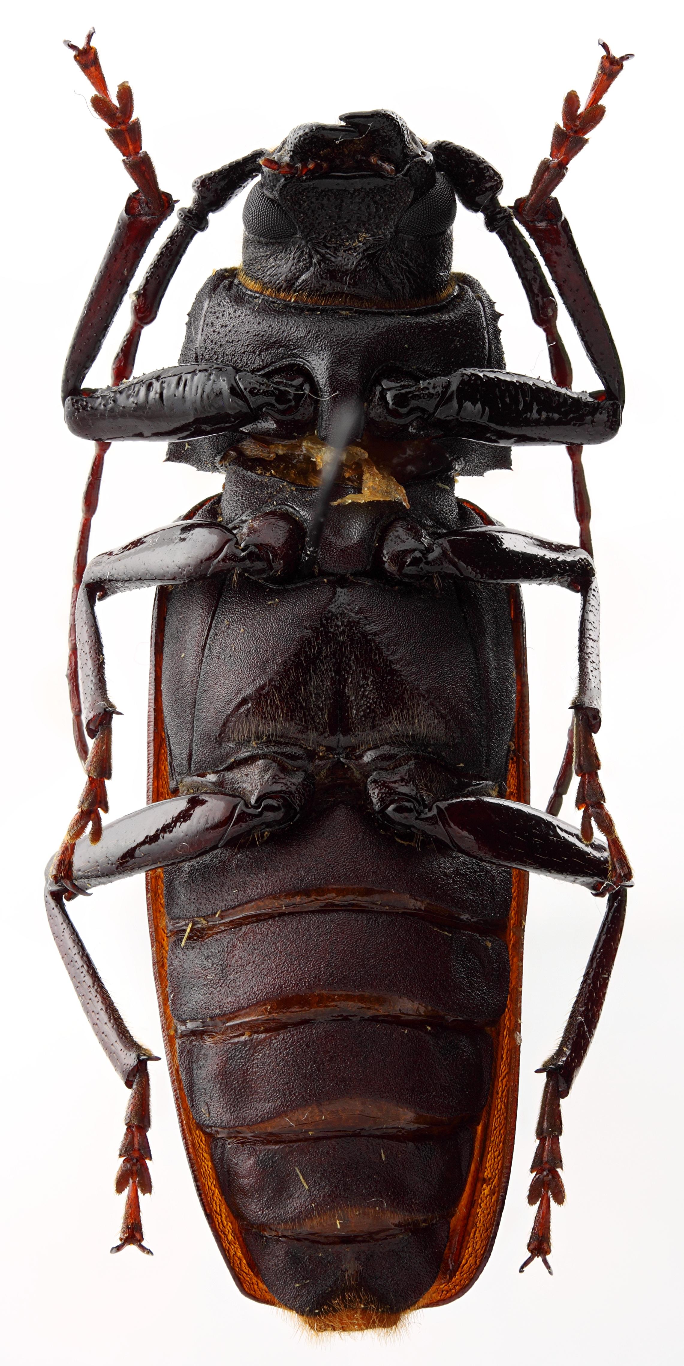 Prinobius samai 01 SP Holotype M 044 BRUS 201405.jpg