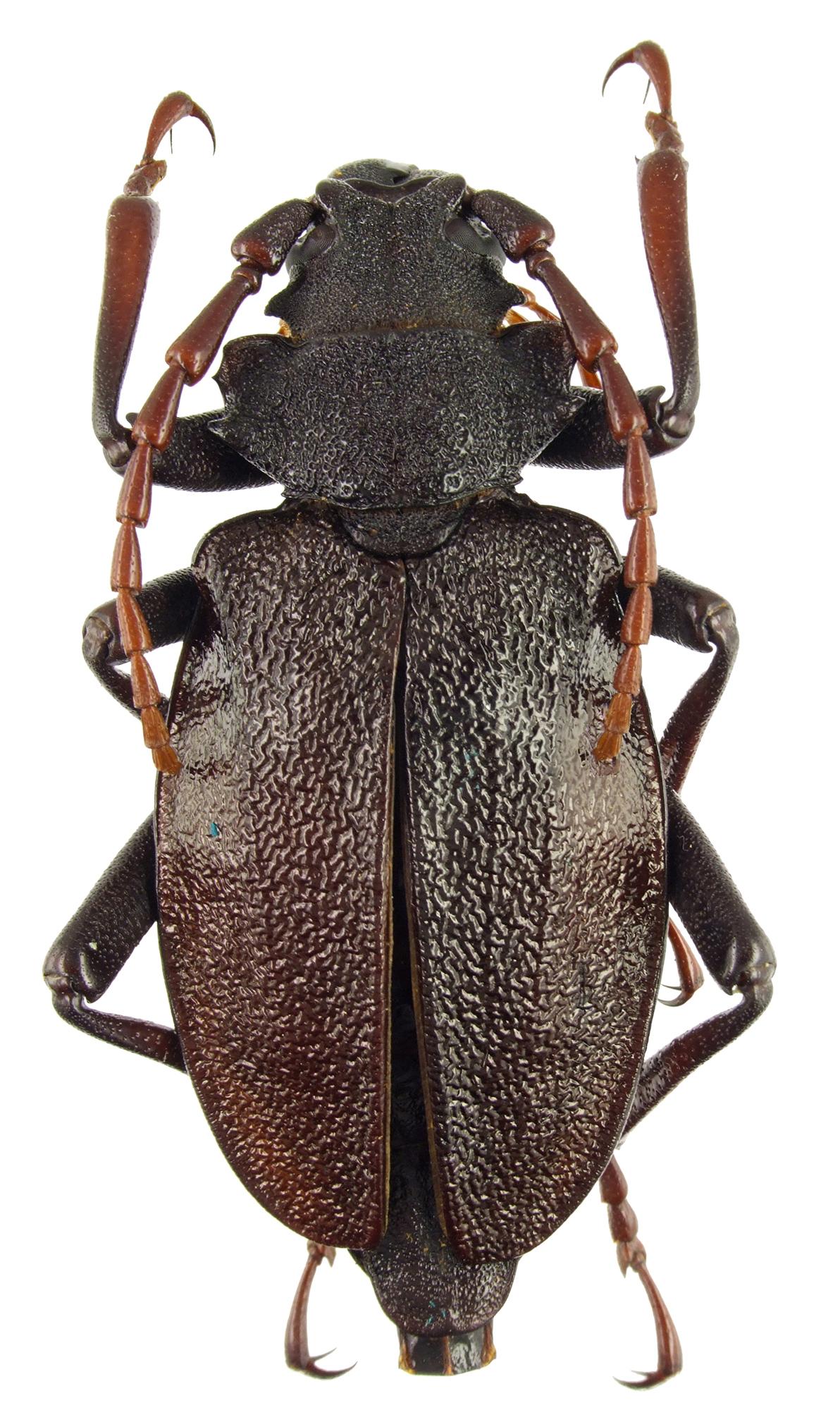 Prionacalus atys 47535cz38.jpg