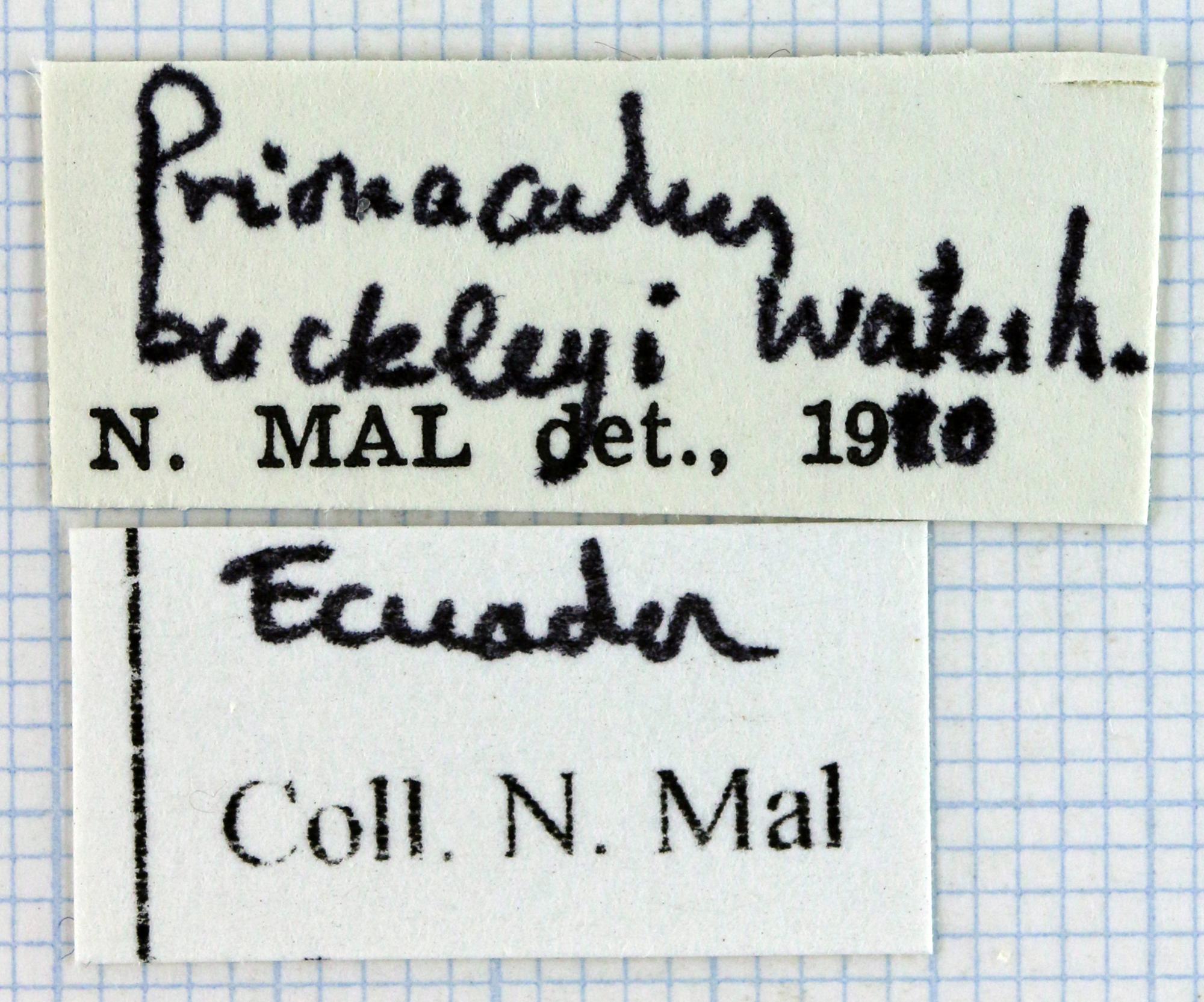Prionacalus buckleyi 46076.jpg