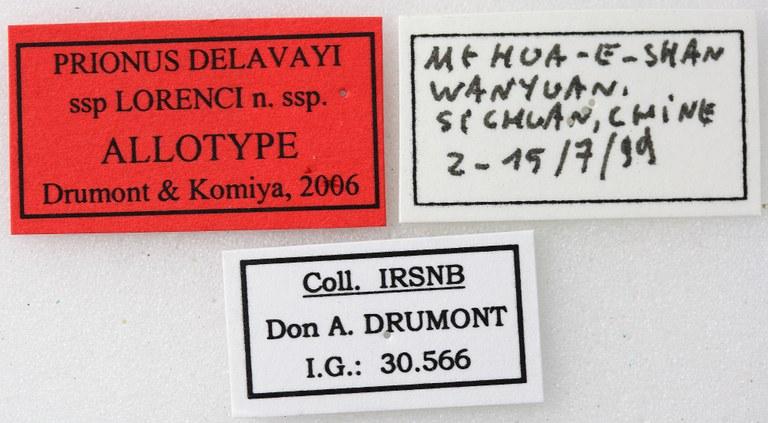 Prionus delavayi lorenci 02 00 Allotype F 035 BRUS 201405.jpg