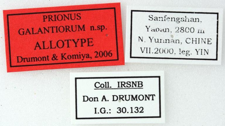 Prionus galantiorum 02 00 Allotype F 031 BRUS 201405.jpg