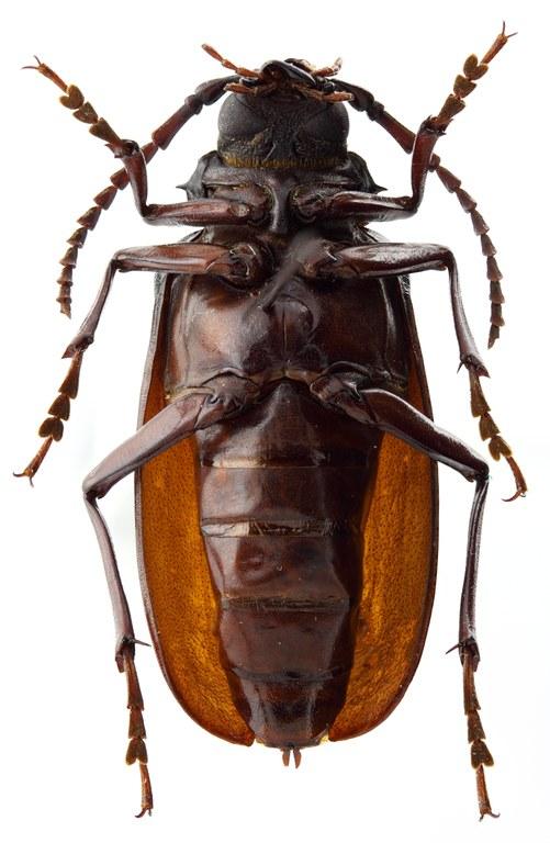 Prionus galantiorum 02 SP Allotype F 031 BRUS 201405.jpg