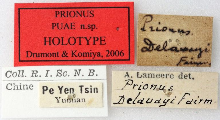 Prionus puae 01 00 Holotype X 035 BRUS 201405.jpg