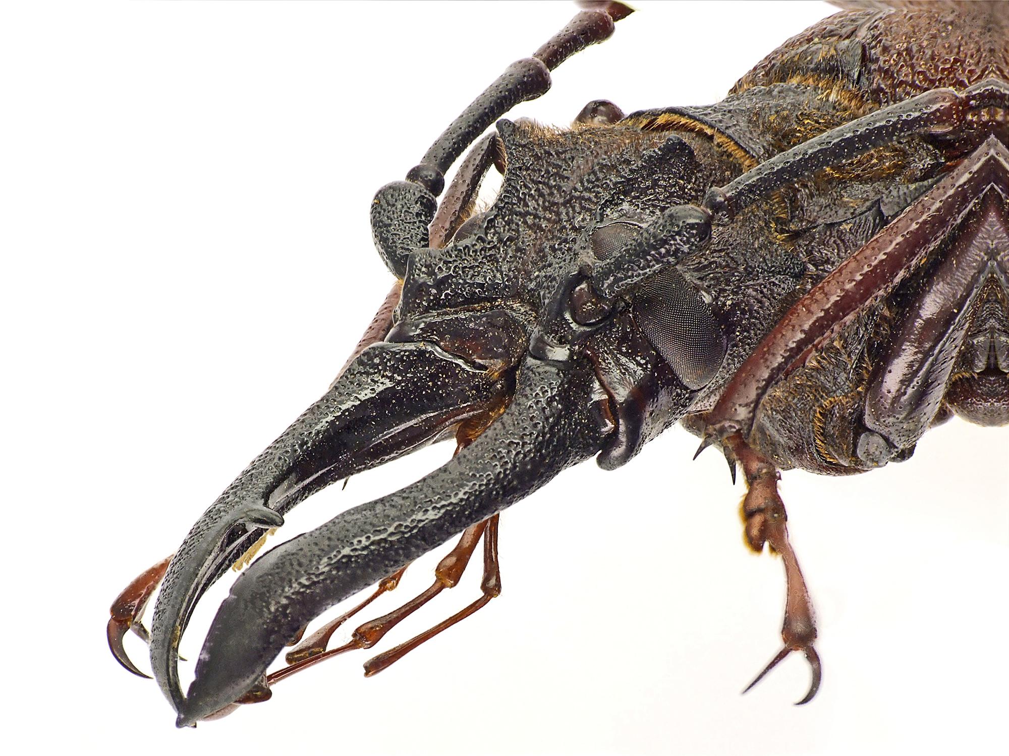 Psalidognathus erythrocerus 47440cz60.jpg