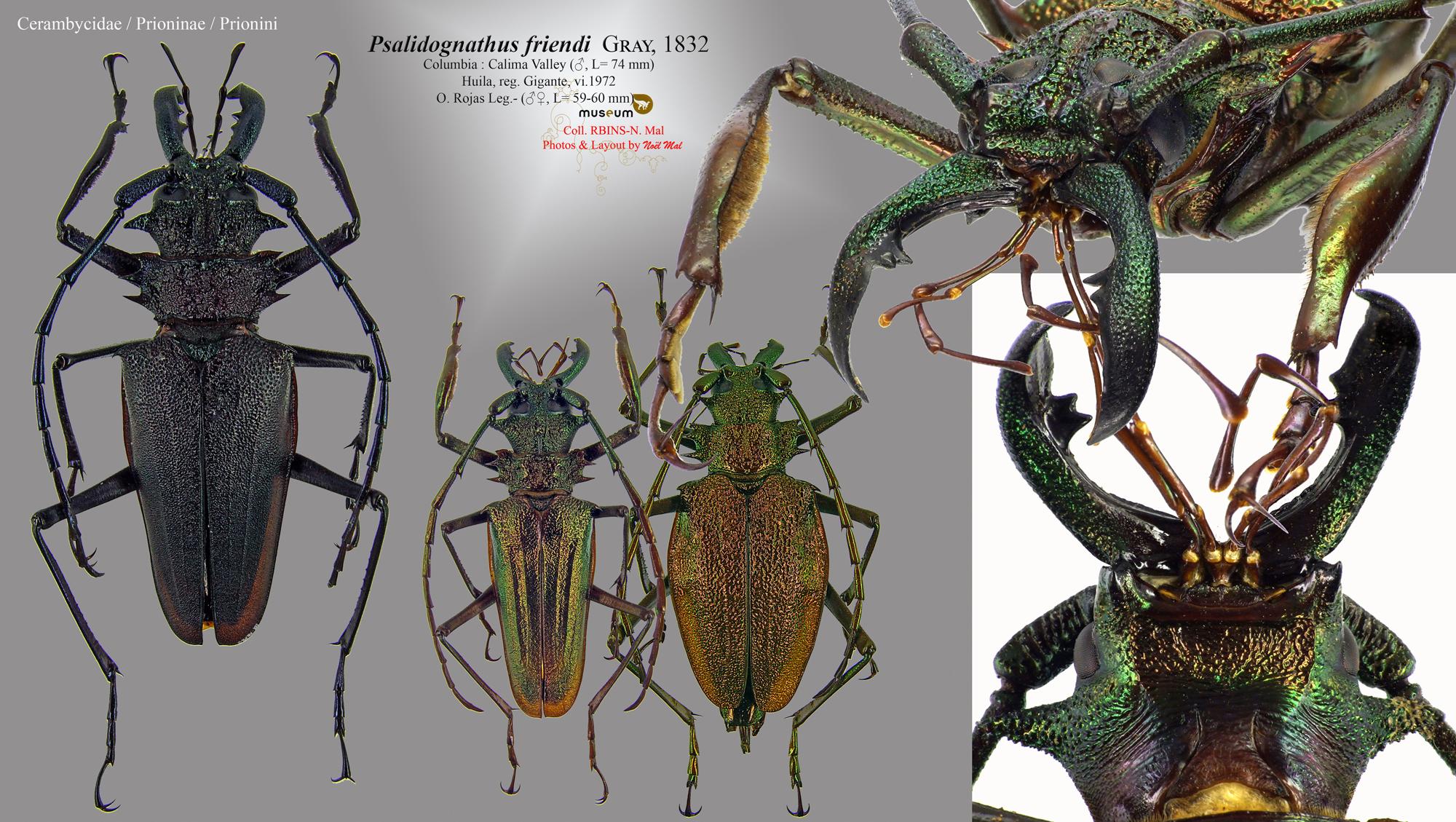 Psalidognathus friendii.jpg