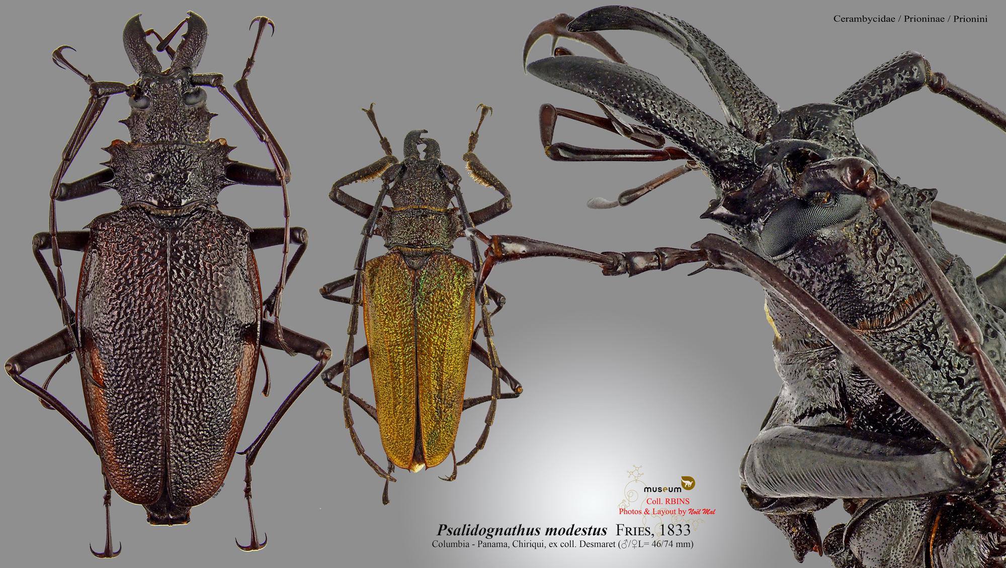 Psalidognathus modestus.jpg