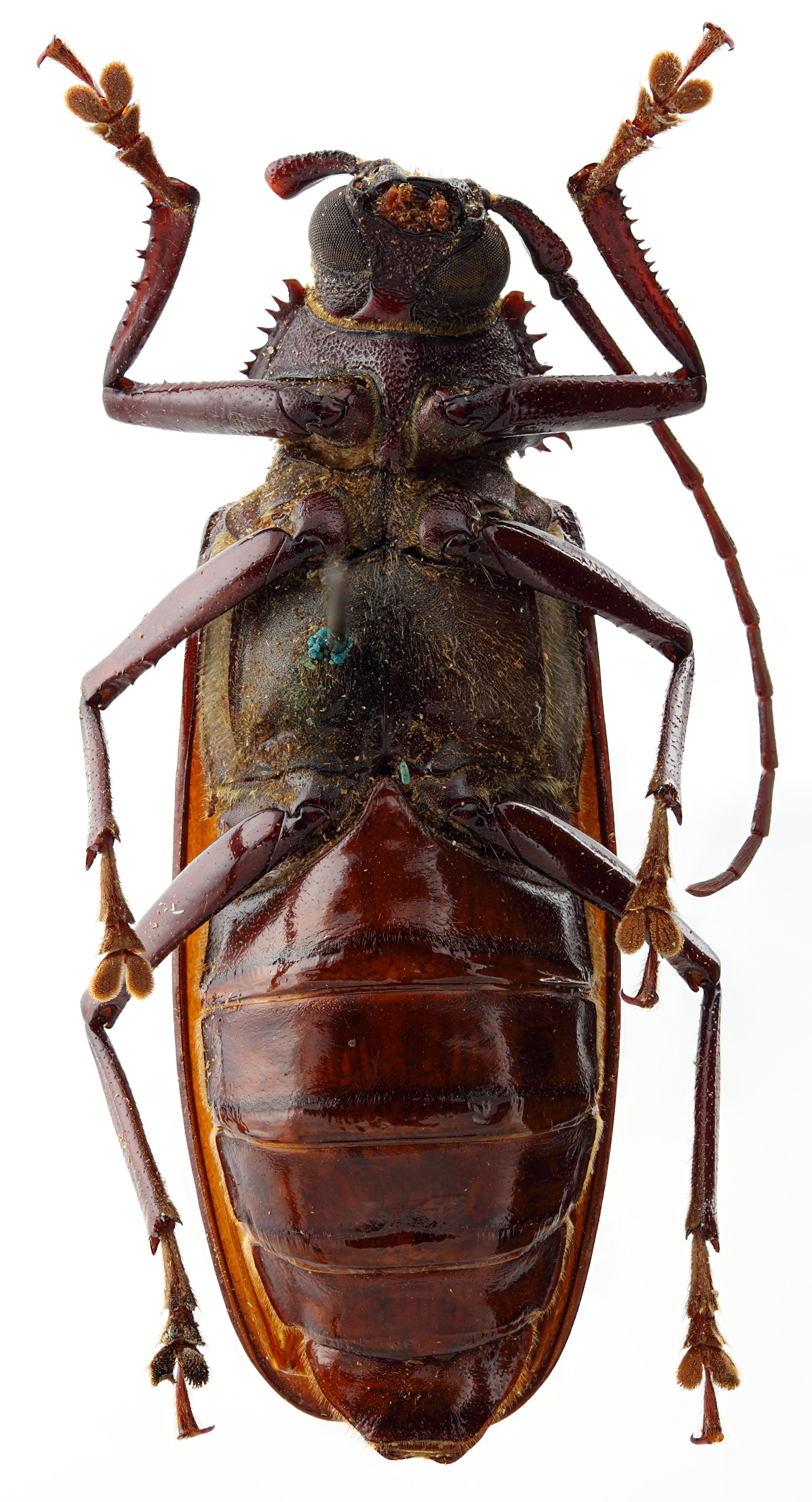 Pseudoplites inexpectatus 02 SP Allotype F 045 BRUS 201405.jpg