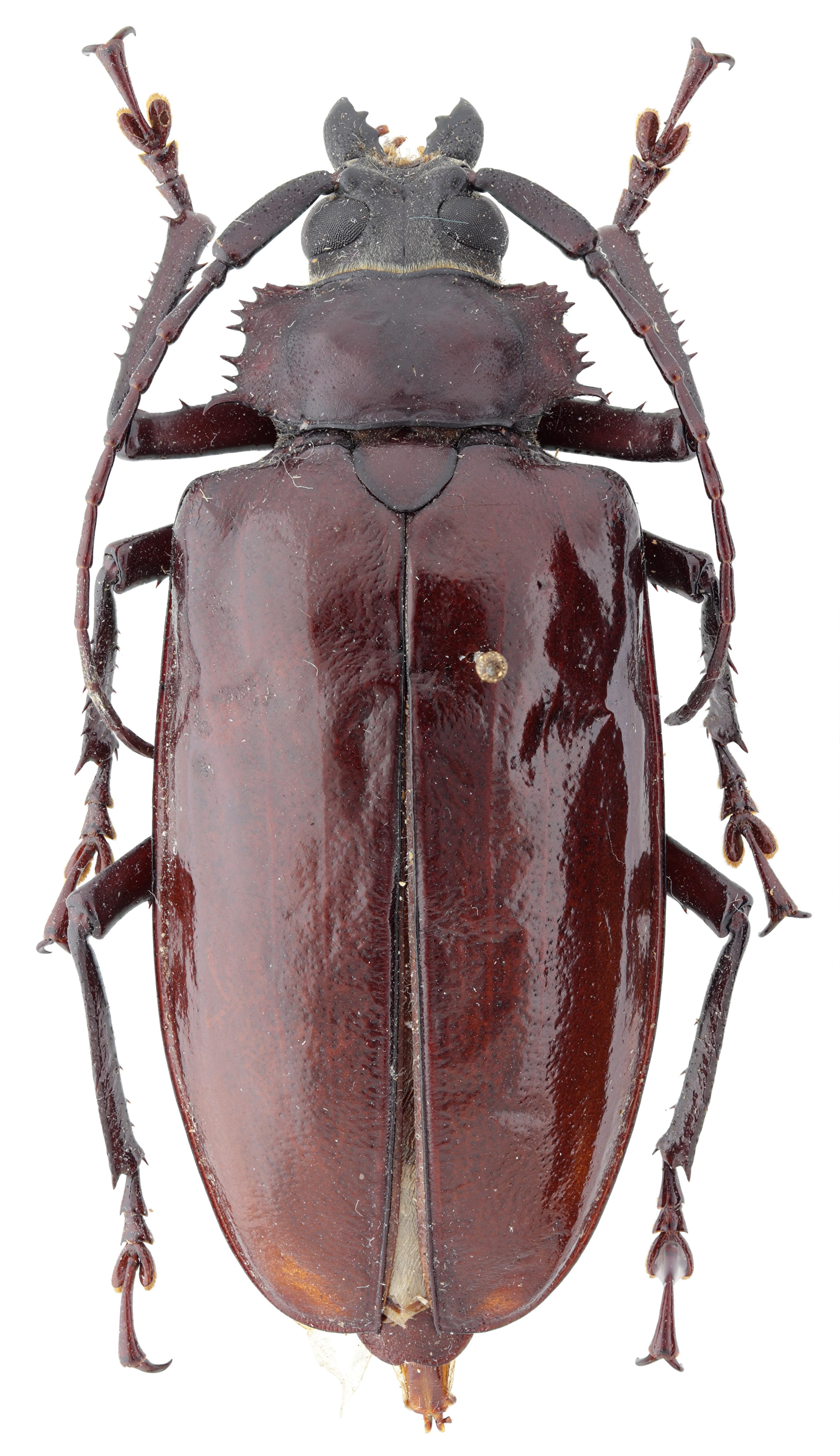 Rhaphipodus celebensis at F D.jpg