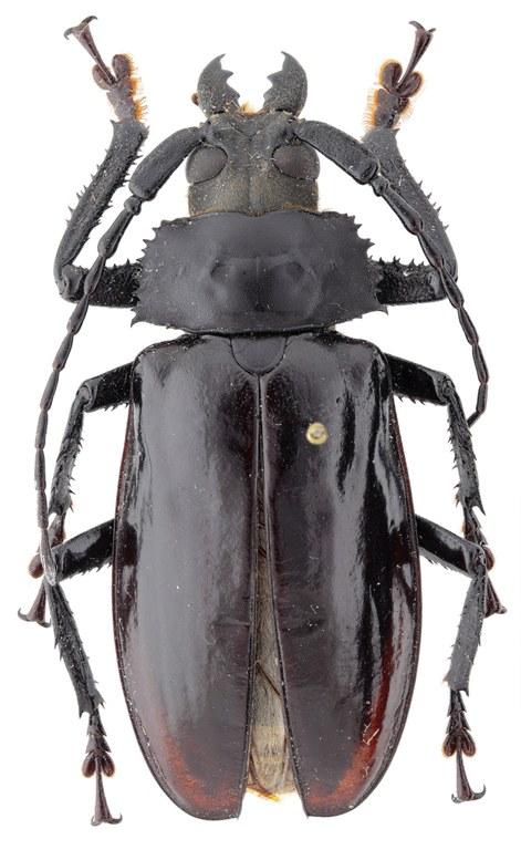 Rhaphipodus celebensis ht M D.jpg