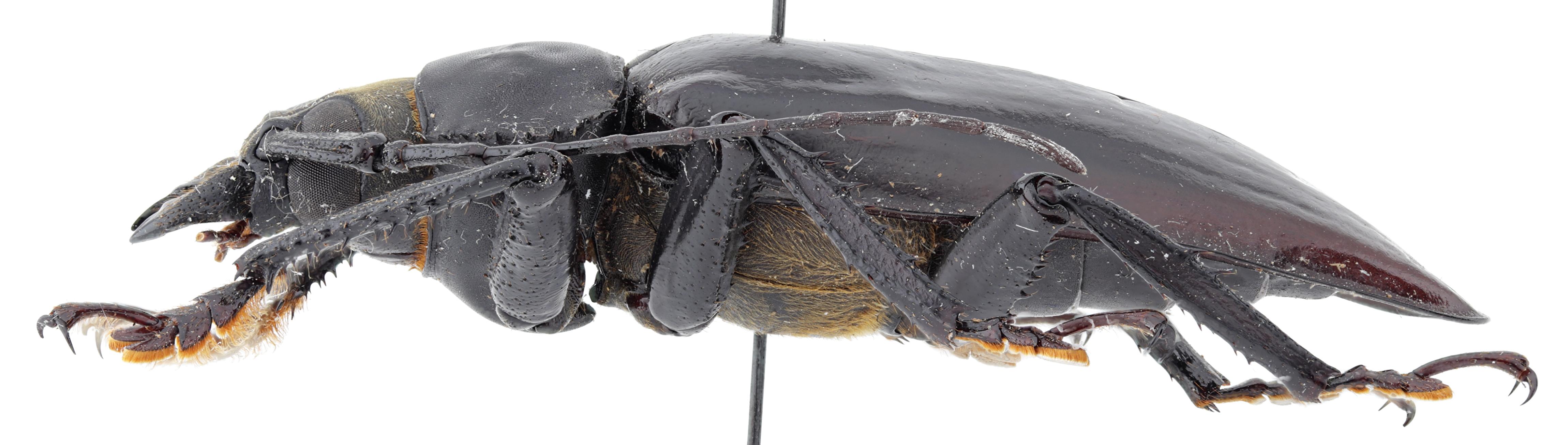 Rhaphipodus celebensis ht M L.jpg