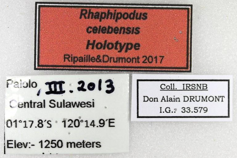 Rhaphipodus celebensis ht M Lb.jpg