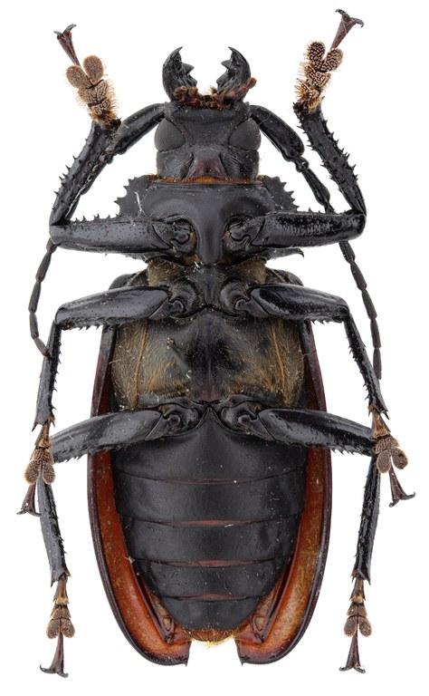 Rhaphipodus celebensis ht M V.jpg