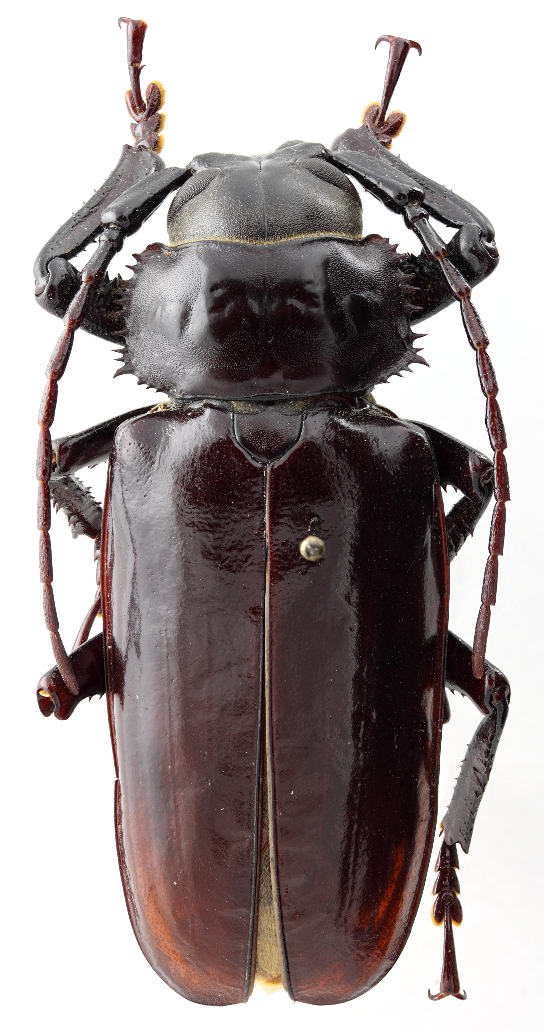 Rhaphipodus fatalis 01 HP Holotype X 049 BRUS 201405.jpg