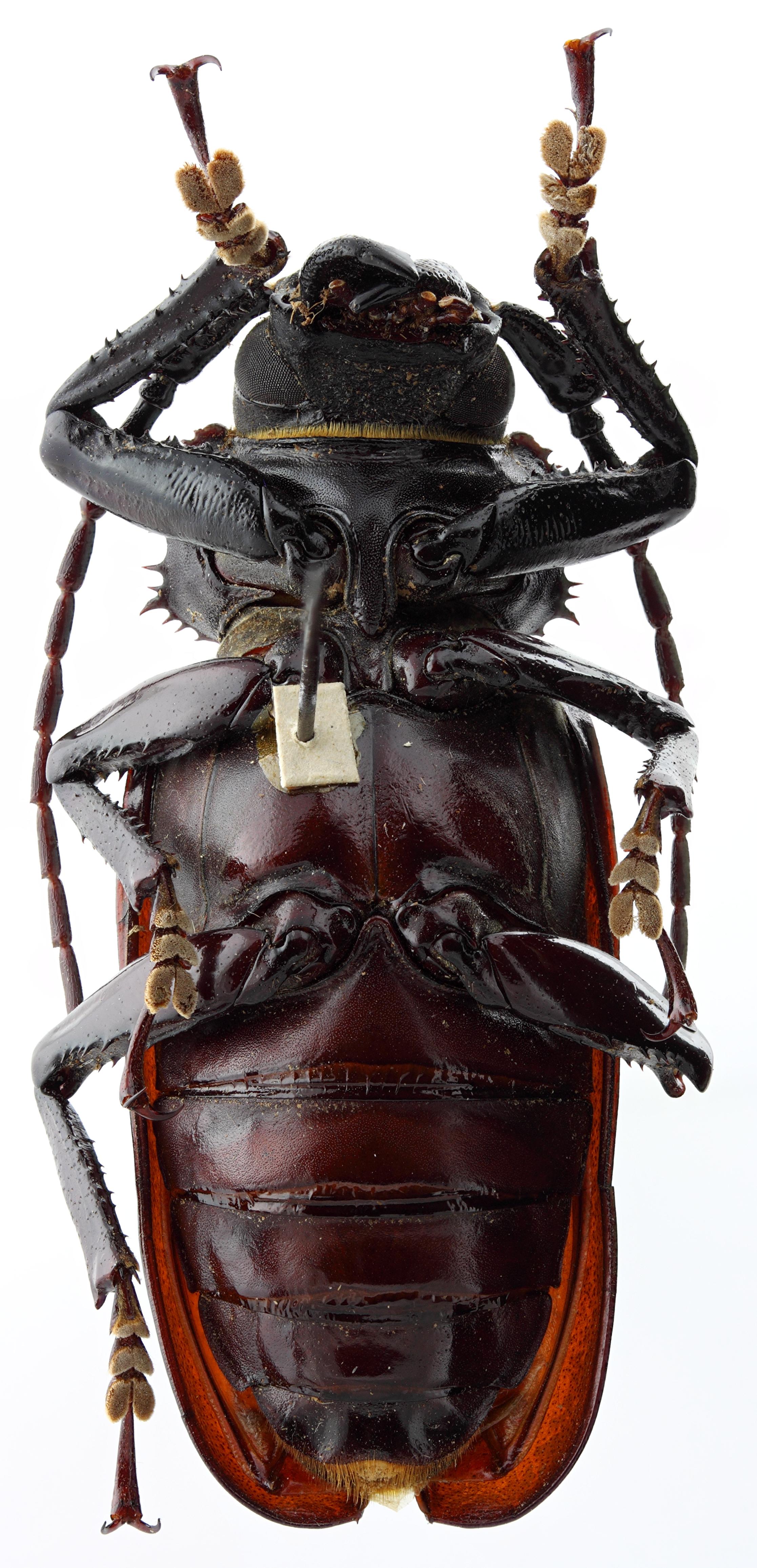 Rhaphipodus fatalis 01 SP Holotype X 049 BRUS 201405.jpg