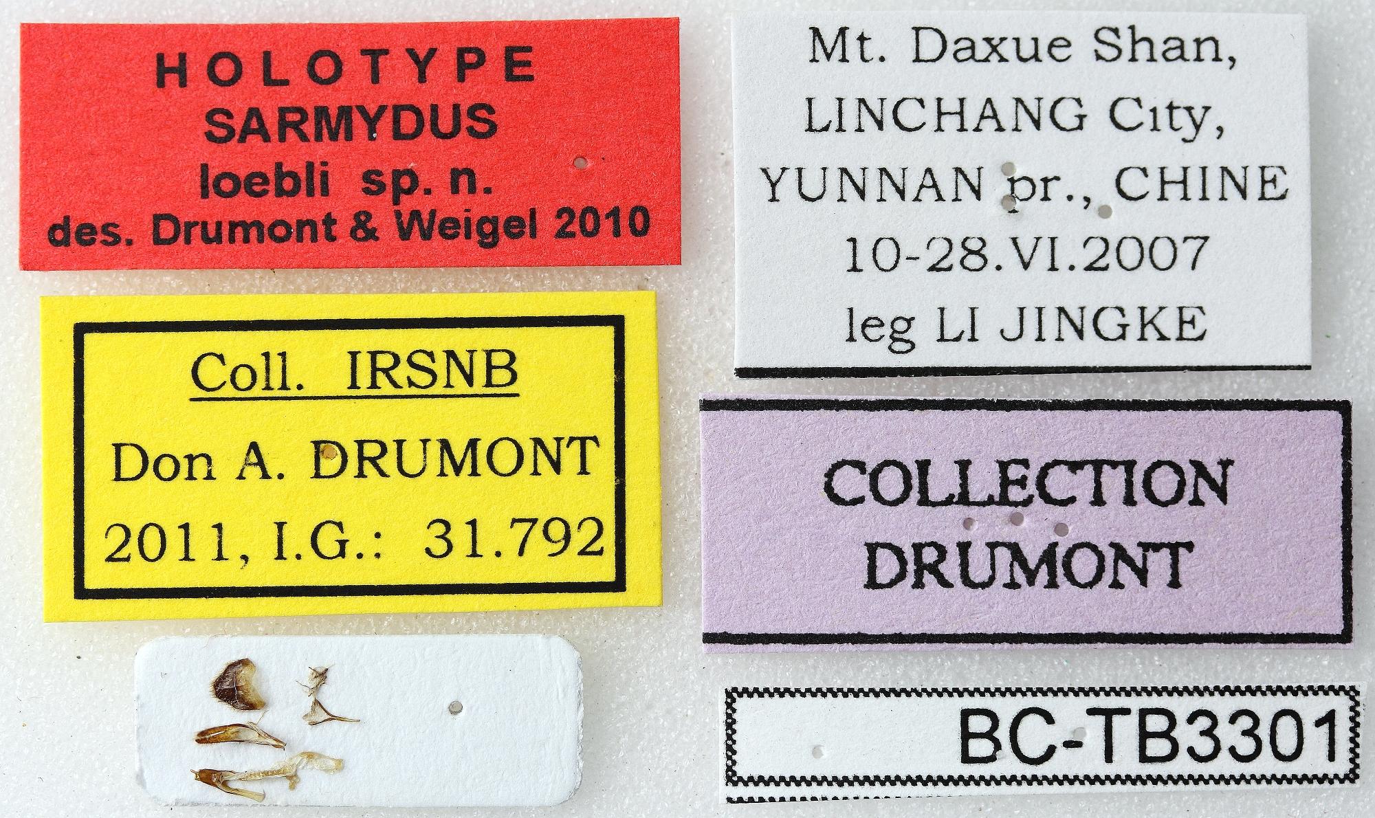 Sarmydus loebli 01 00 Holotype X 019 BRUS 201405.jpg