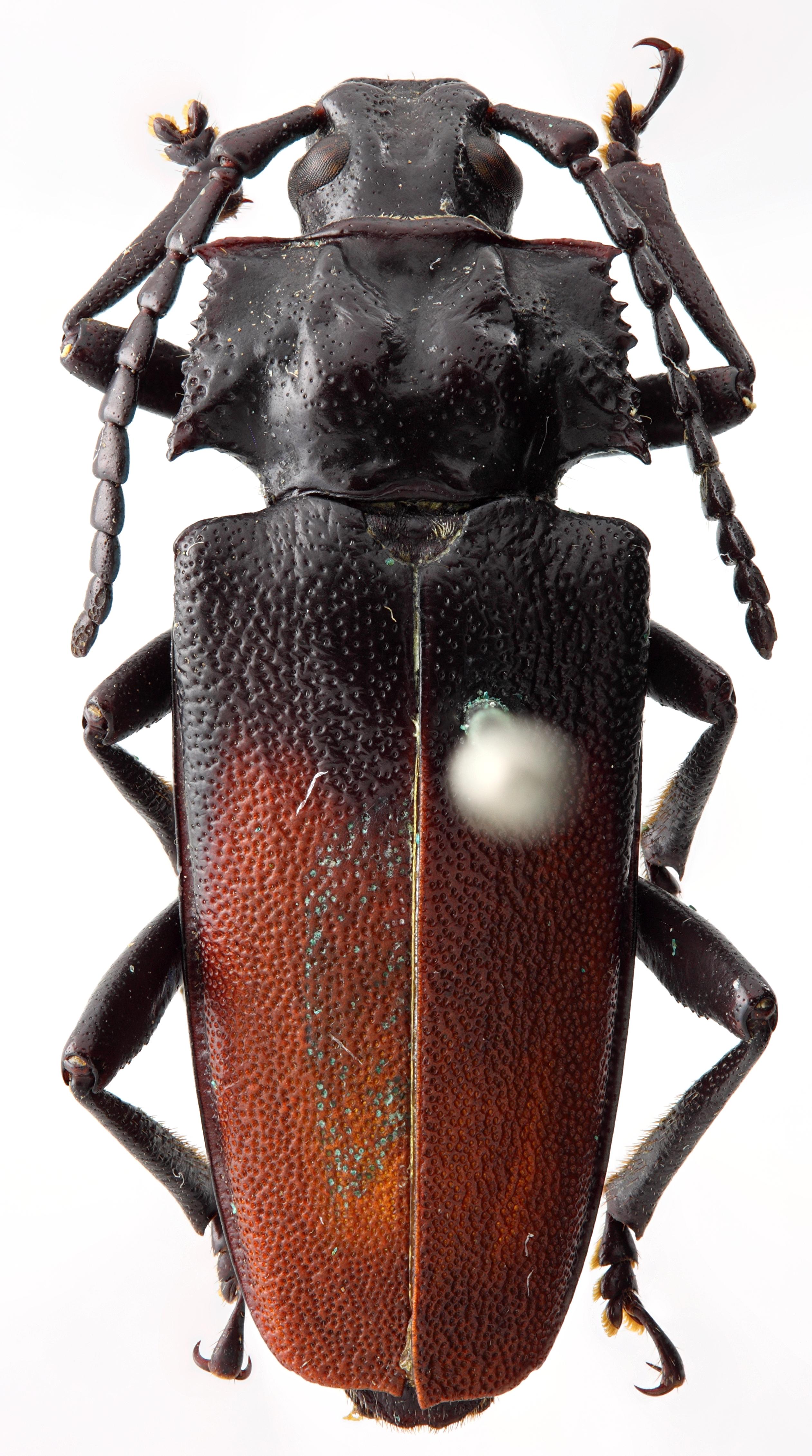 Solenoptera fraudulenta 03 HP Paratype F 022 BRUS 201405.jpg