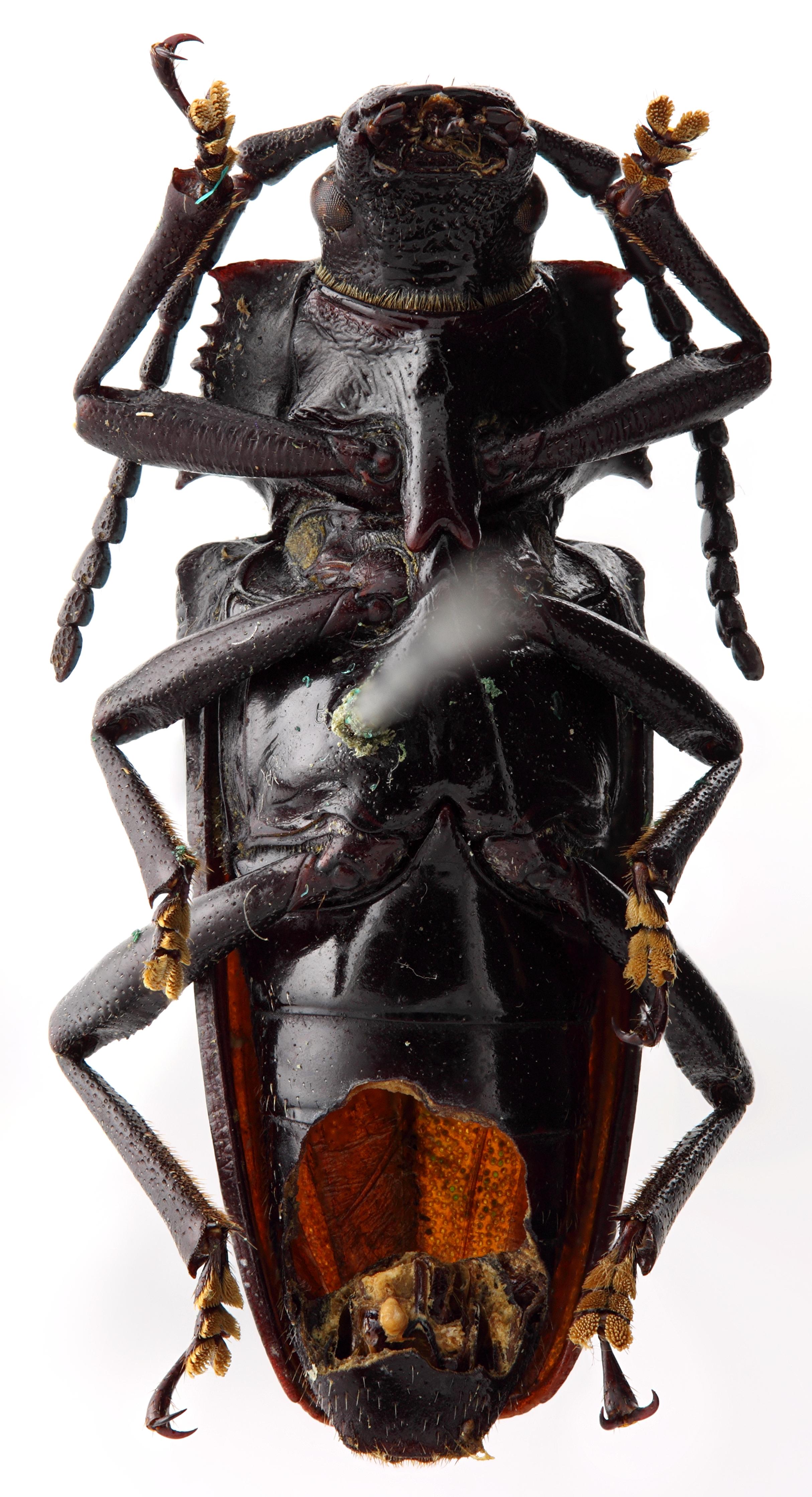 Solenoptera fraudulenta 03 SP Paratype F 022 BRUS 201405.jpg