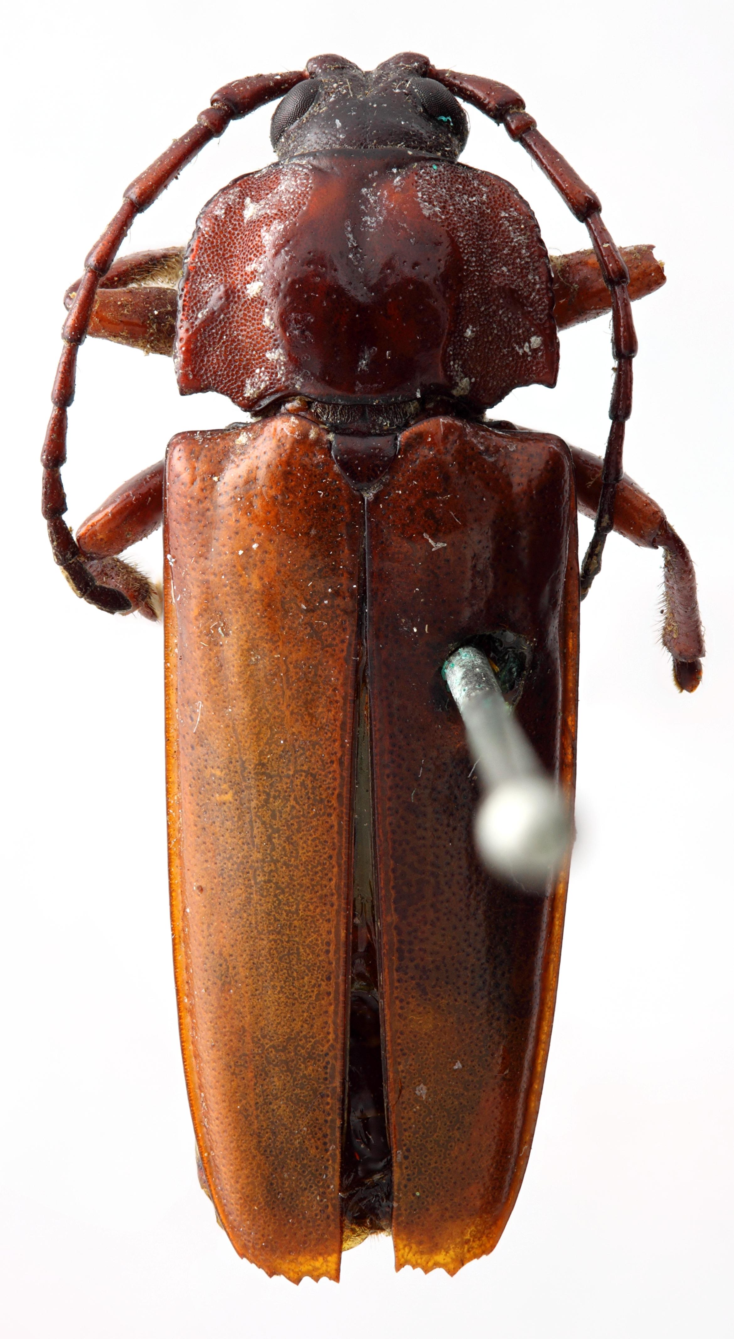 Solenoptera parandroides 01 HP Holotype M 020 BRUS 201405.jpg