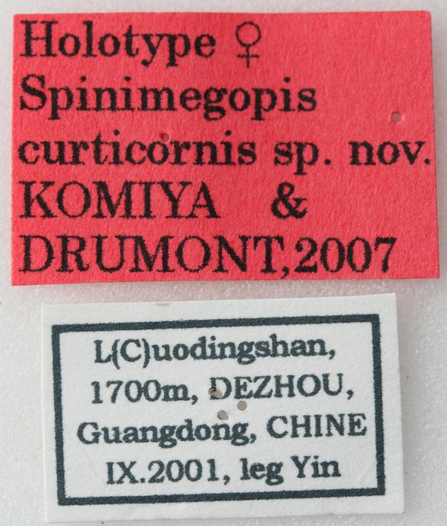 Spinimegopis curticornis 01 00 Holotype F 032 BRUS 201405.jpg