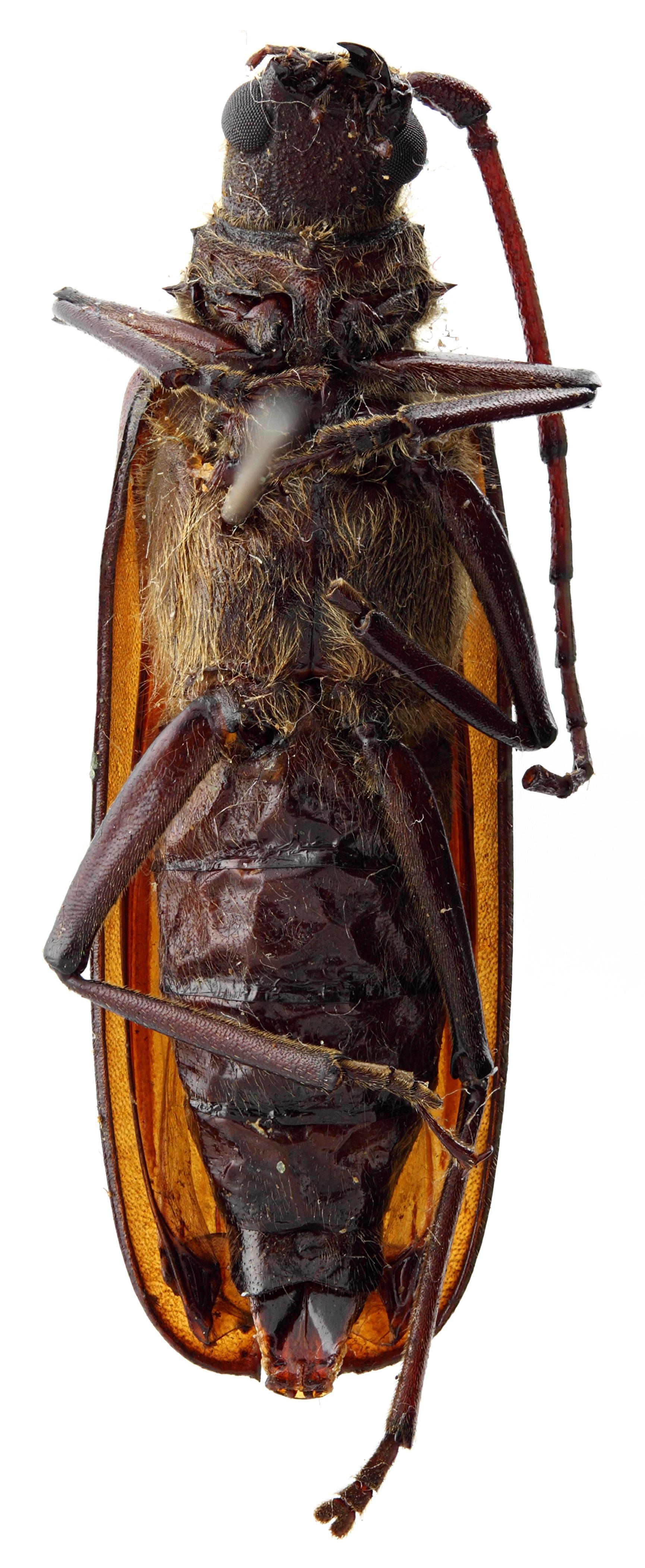 Spinimegopis formosana tamdaoana 03 SP Paratype F 034 BRUS 201405.jpg