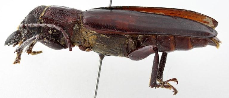 Stenodontes (Physopleurus) villardi 07 BL Cotype M 047 BRUS 201405.jpg