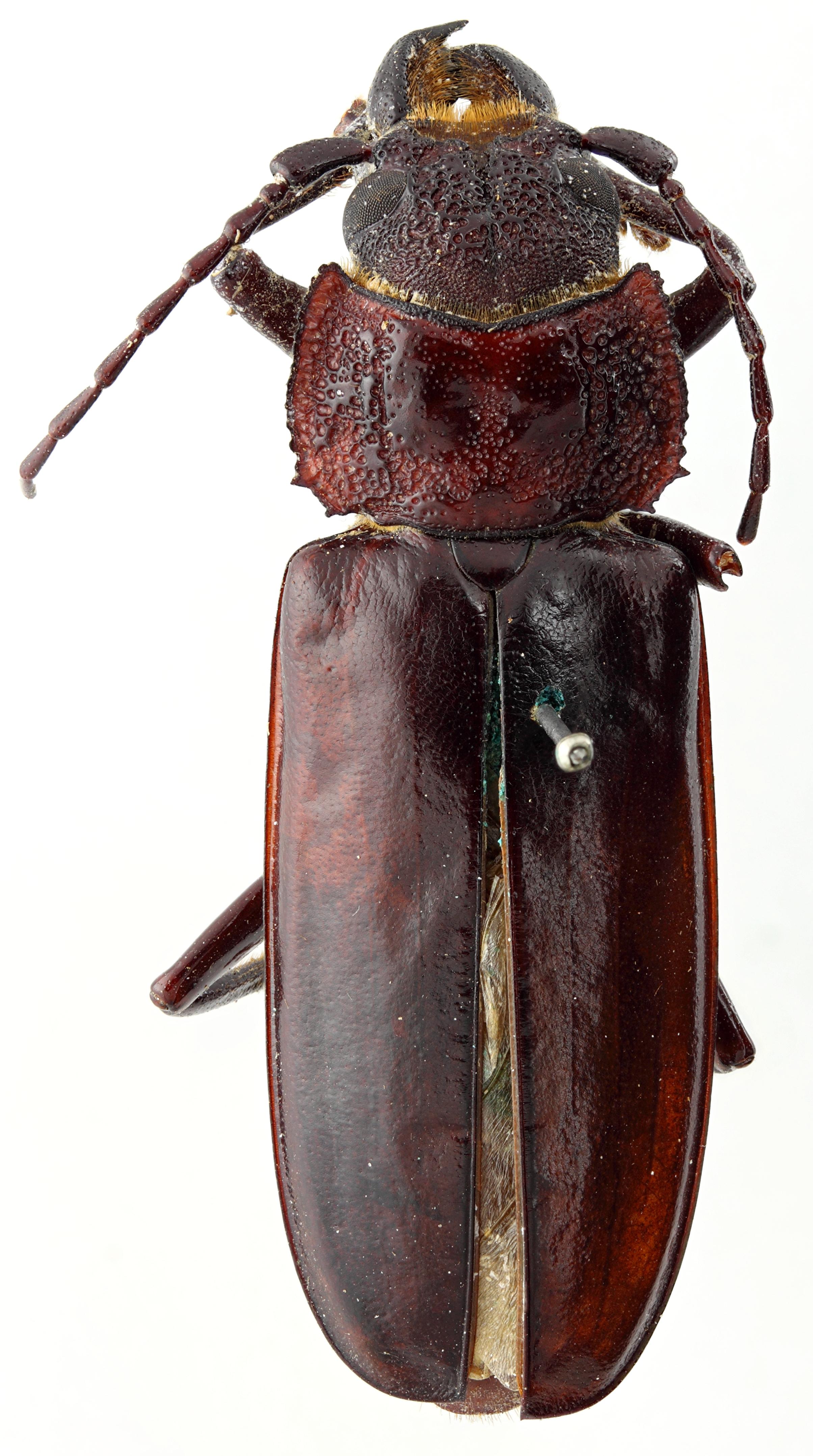 Stenodontes (Physopleurus) villardi 07 HP Cotype M 047 BRUS 201405.jpg