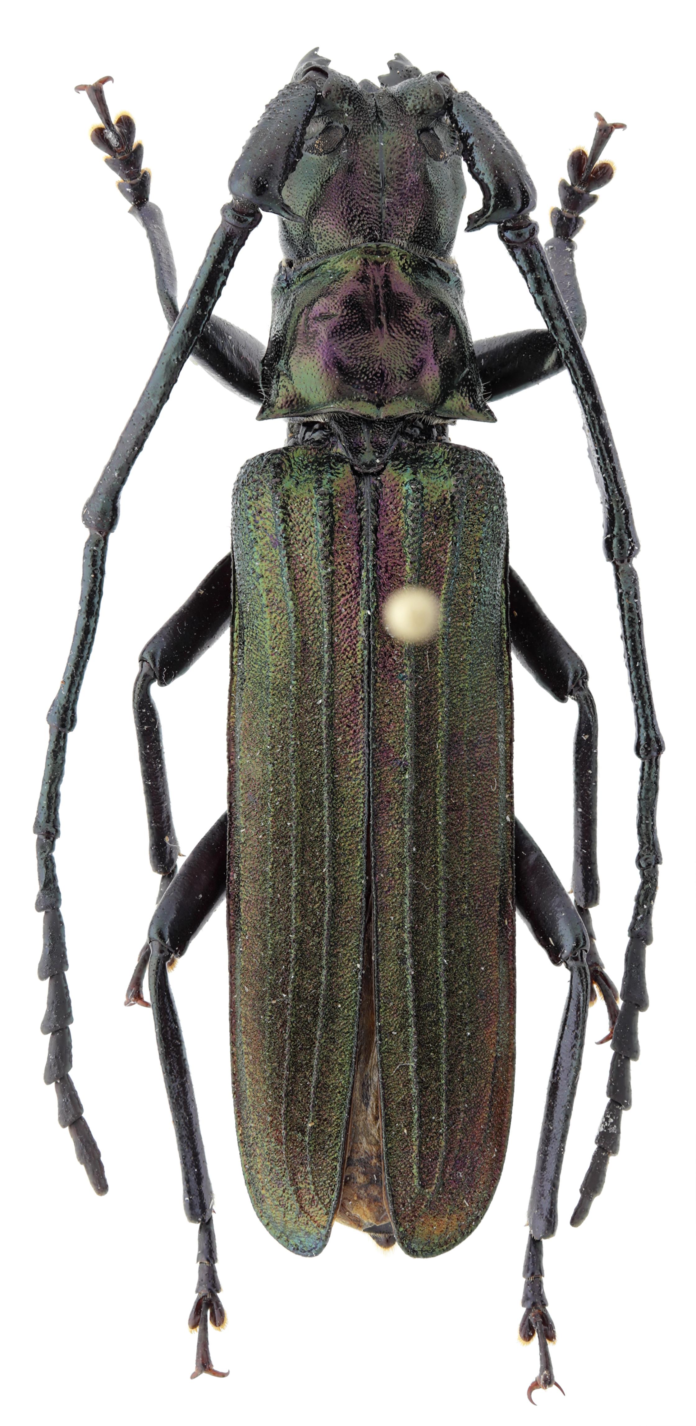 Vietetropis cheni pt M D.jpg