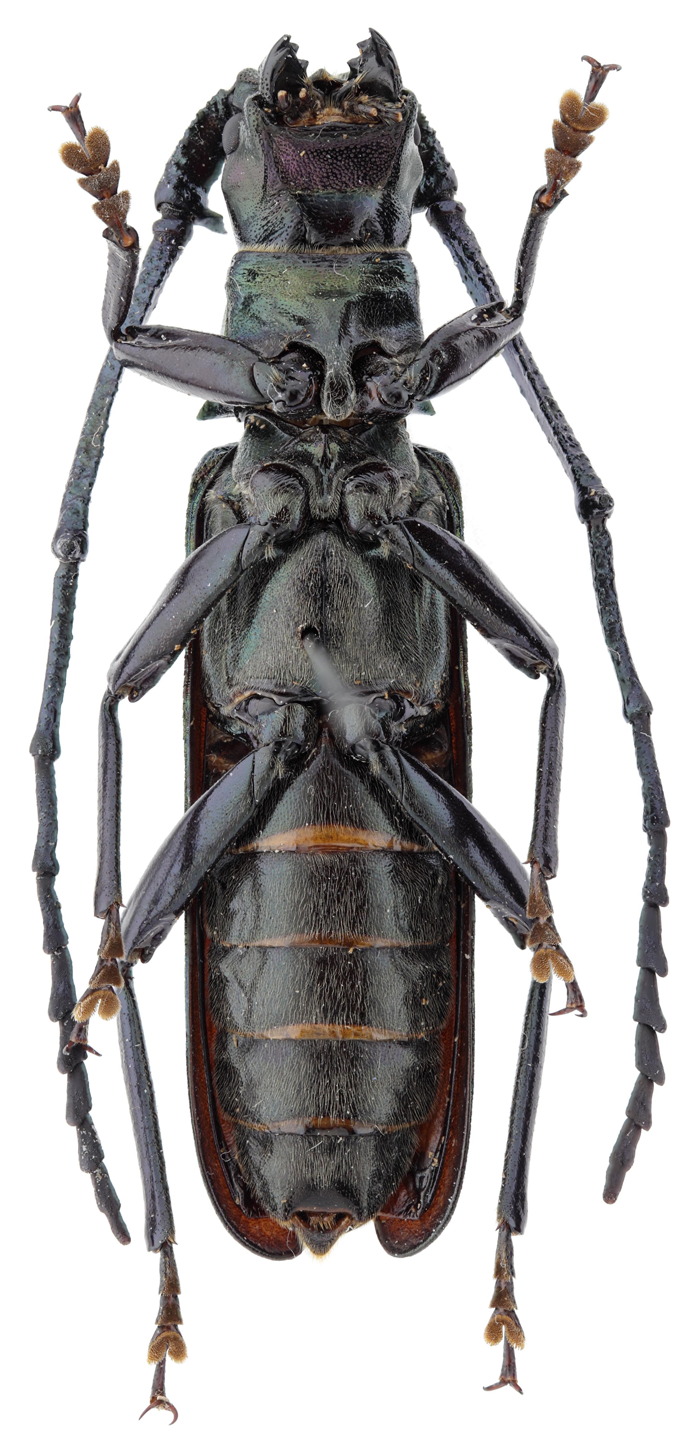 Vietetropis cheni pt M V.jpg
