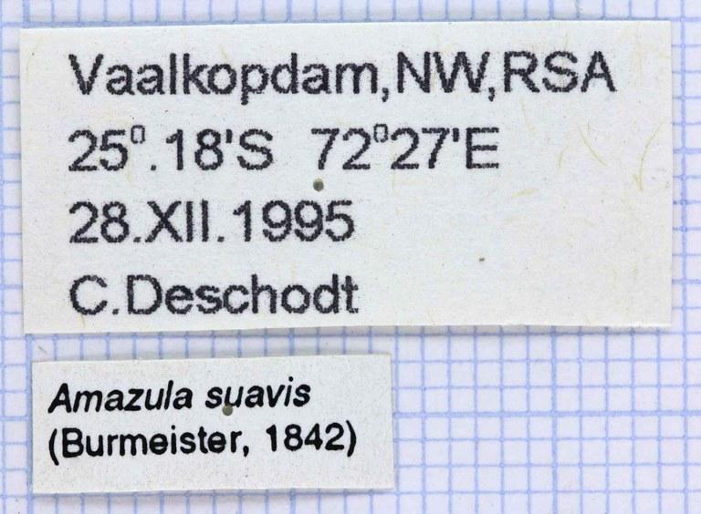 Amazula suavis lables 24264.jpg