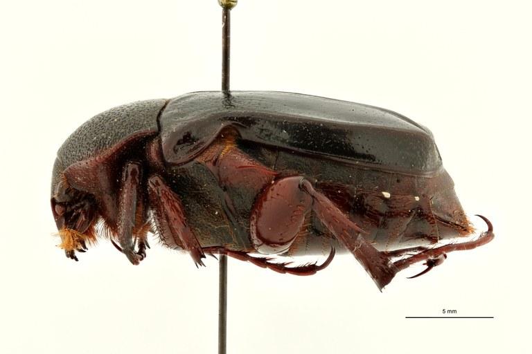 Anochilia moffartsi t L ZS PMax Scaled.jpeg