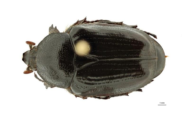 Anoplocheilus (Diplognathoides) lorinae pt M D ZS PMax Scaled.jpeg