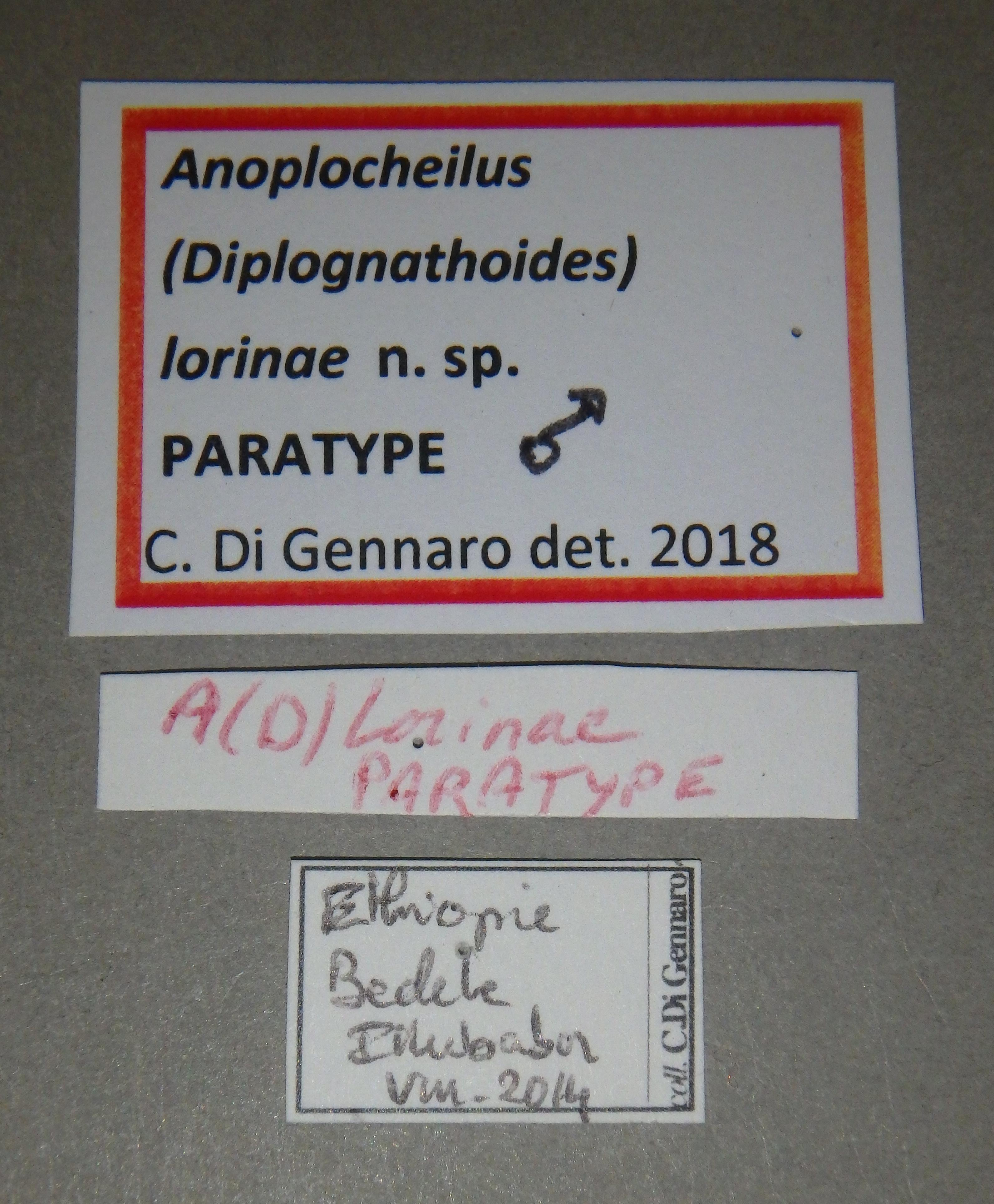 Anoplocheilus (Diplognathoides) lorinae pt M Lb.JPG