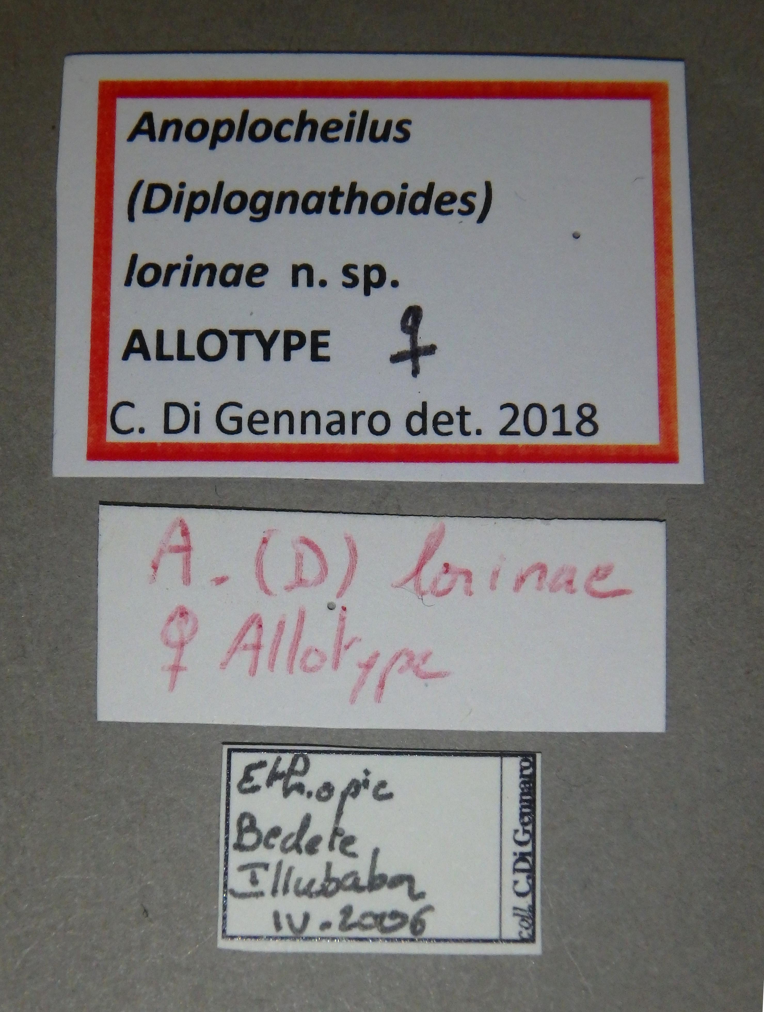 Anoplocheilus (Diplognathoides) lorinae at F Lb.JPG