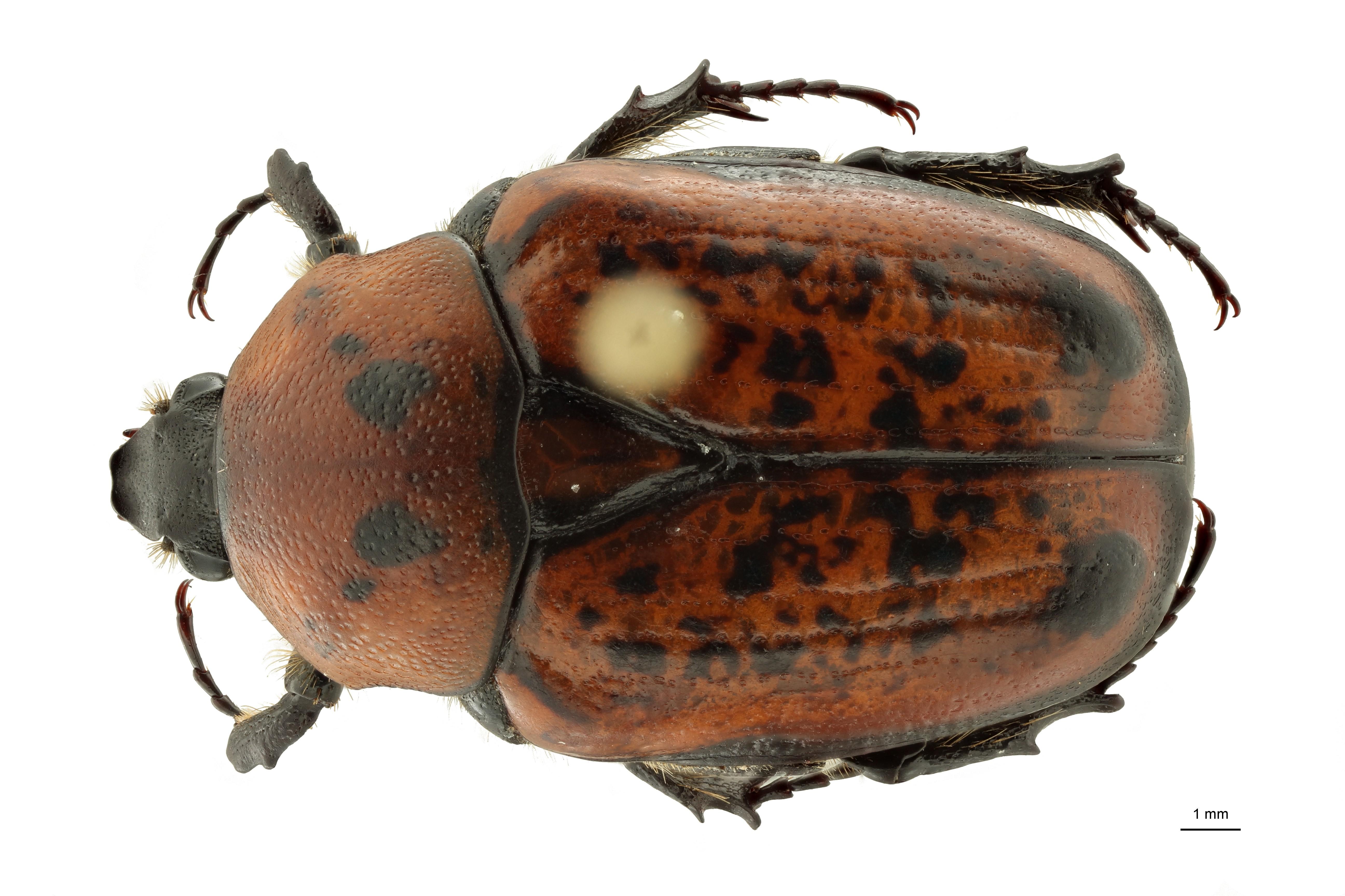 Anoplocheilus (Diplognathoides) werneri nt1 M D ZS PMax Scaled.jpeg