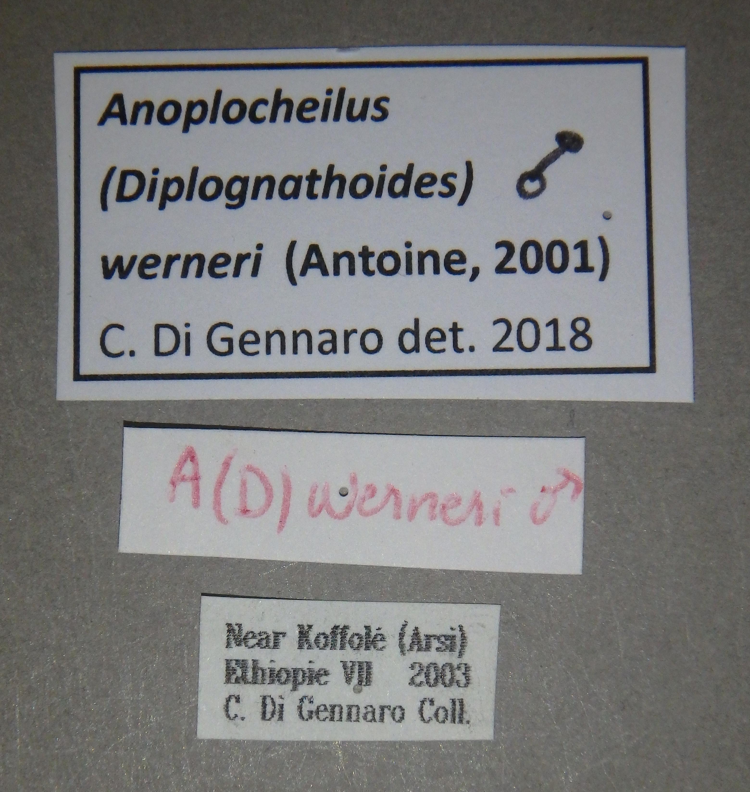 Anoplocheilus (Diplognathoides) werneri nt1 M Lb.JPG