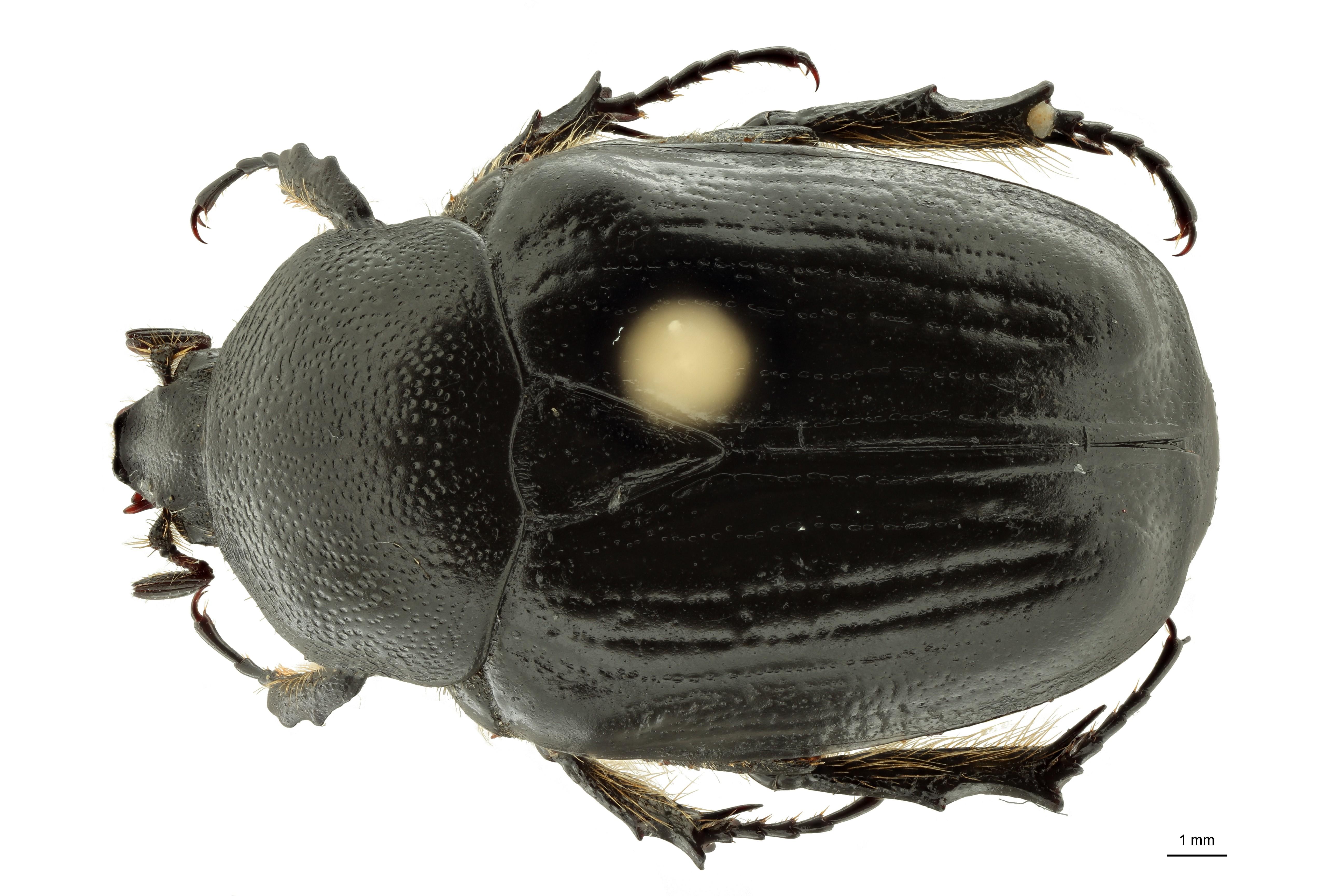 Anoplocheilus (Diplognathoides) werneri nt3 M D ZS PMax Scaled.jpeg