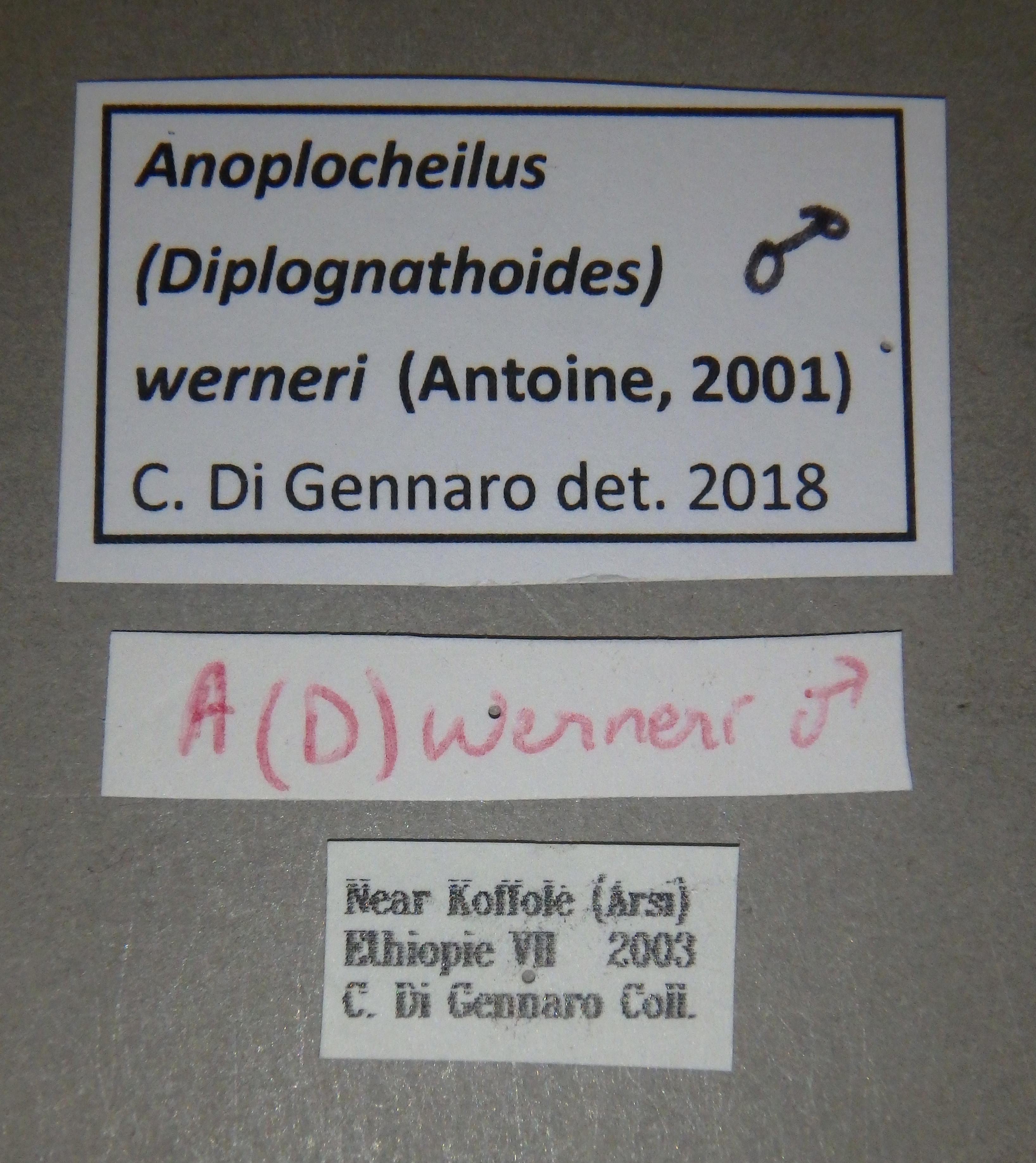 Anoplocheilus (Diplognathoides) werneri nt3 M Lb.JPG