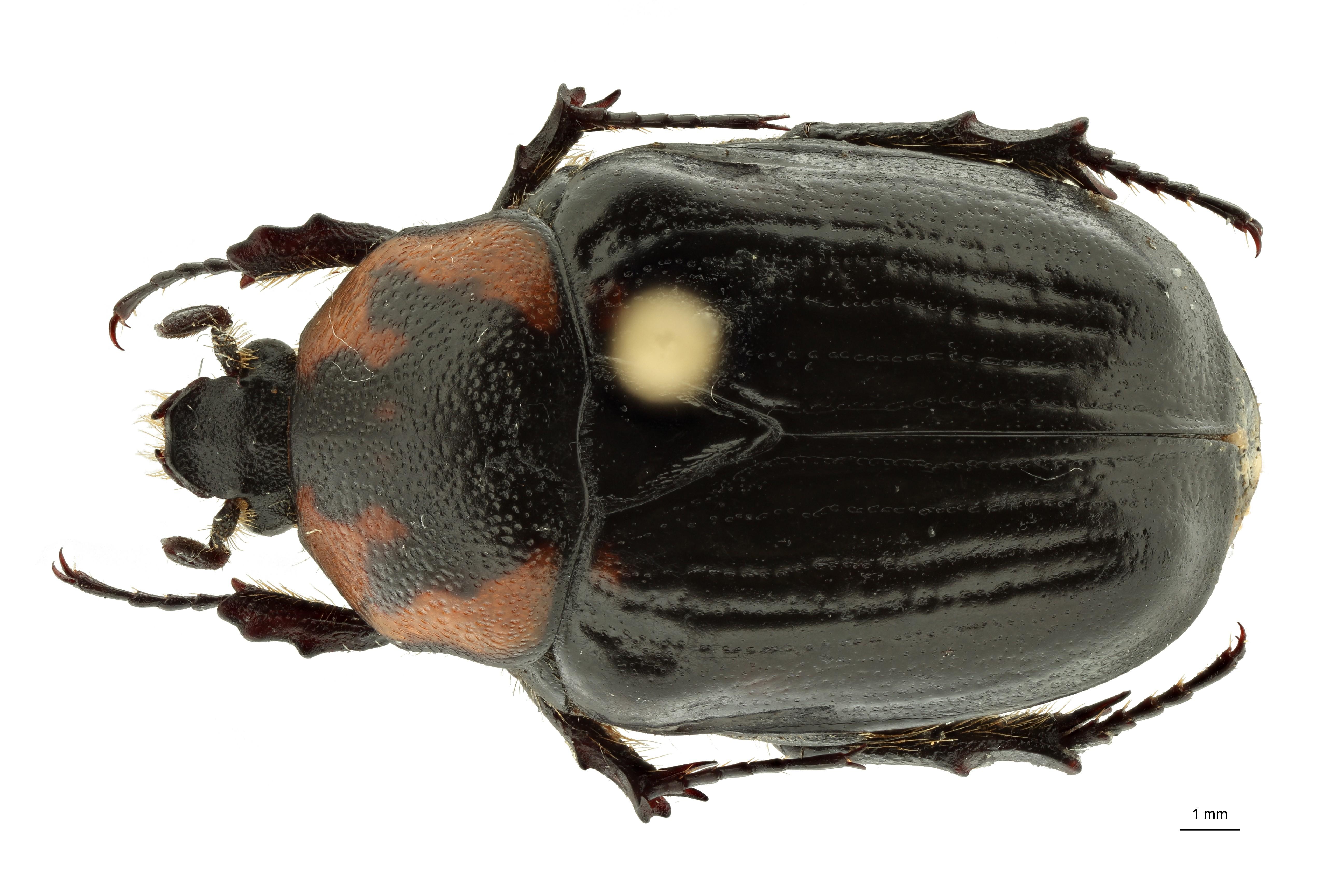 Anoplocheilus (Diplognathoides) werneri nt2 M D ZS PMax Scaled.jpeg