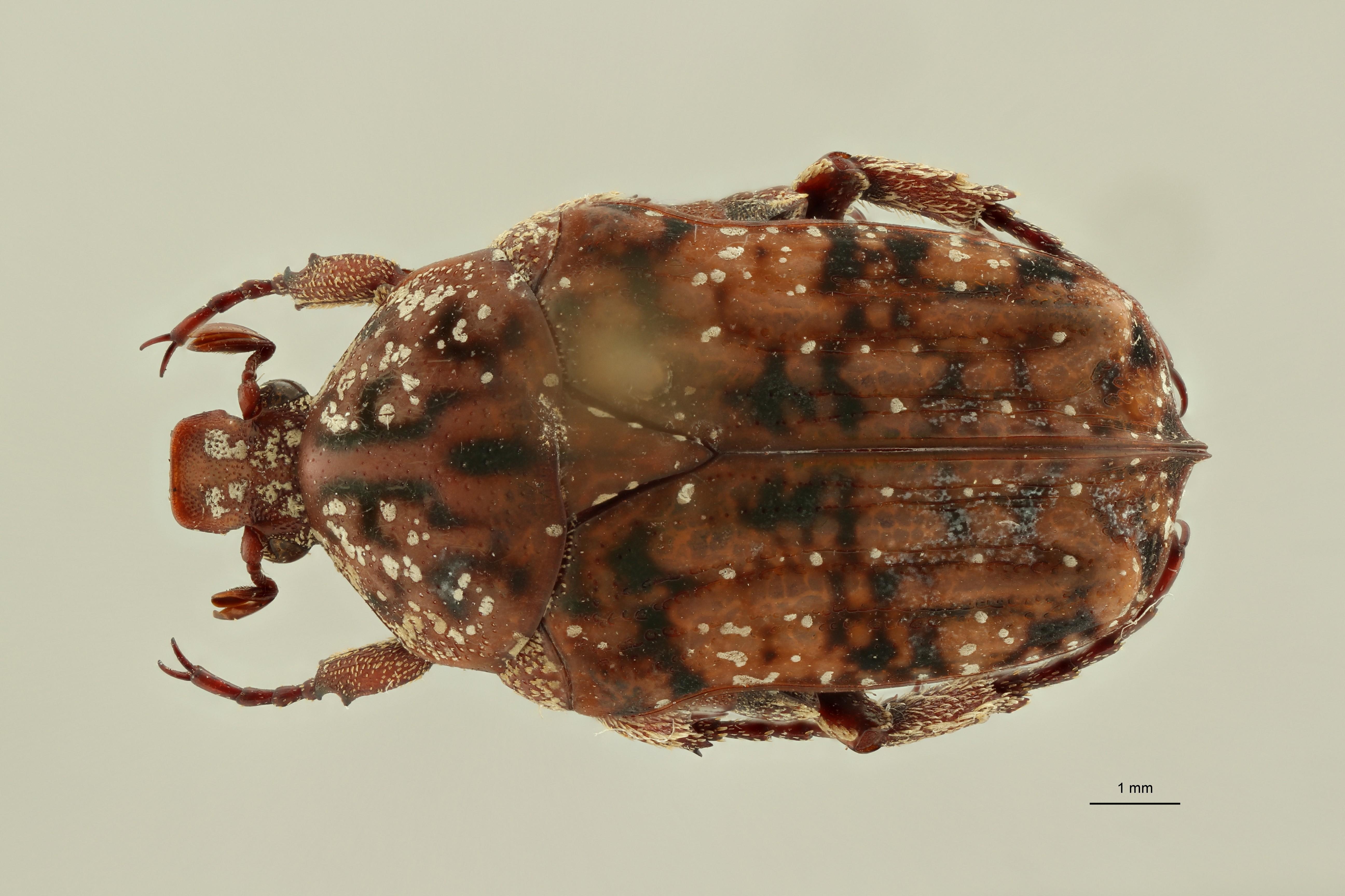 Atrichelaphinis (Eugeaphinis) deplanata minettii pt1 D ZS PMax Scaled.jpeg