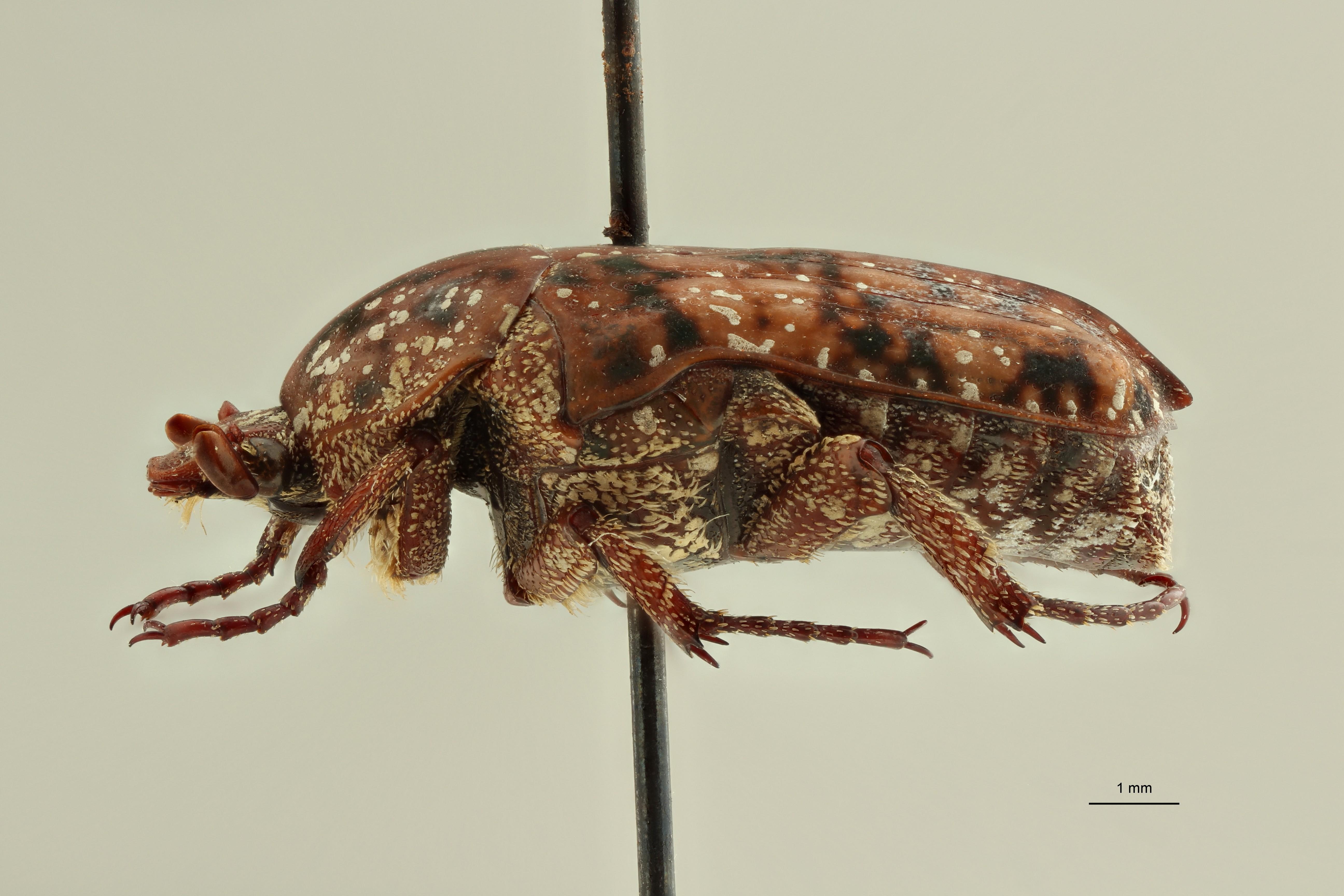 Atrichelaphinis (Eugeaphinis) deplanata minettii pt1 L ZS PMax Scaled.jpeg