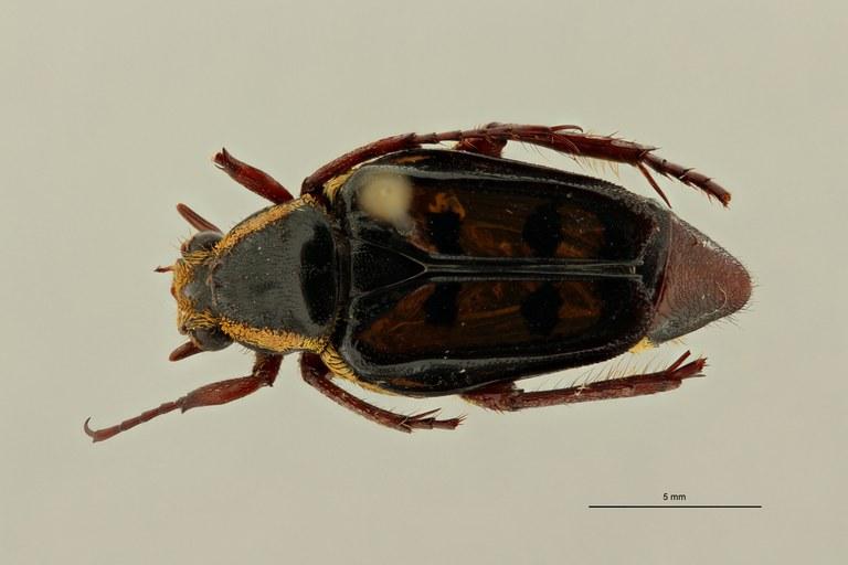 Calometopus ducarmei ht D ZS PMax Scaled.jpeg