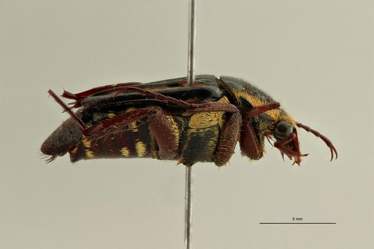 Calometopus ducarmei ht L ZS PMax Scaled.jpeg