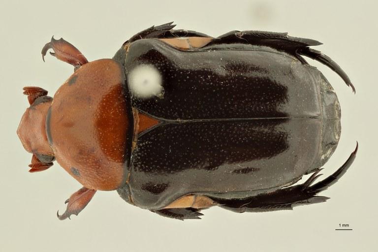 Campsiura nigripennis sumatrana ht D ZS PMax Scaled.jpeg