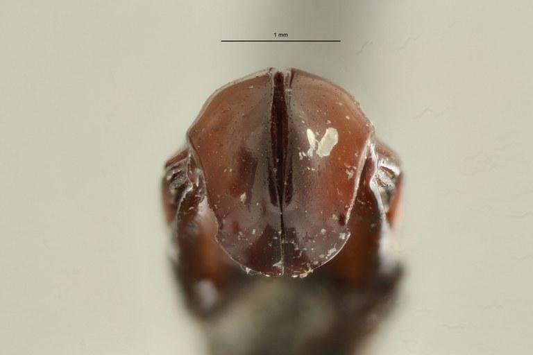 Campsiura nigripennis sumatrana ht DG ZS PMax Scaled.jpeg