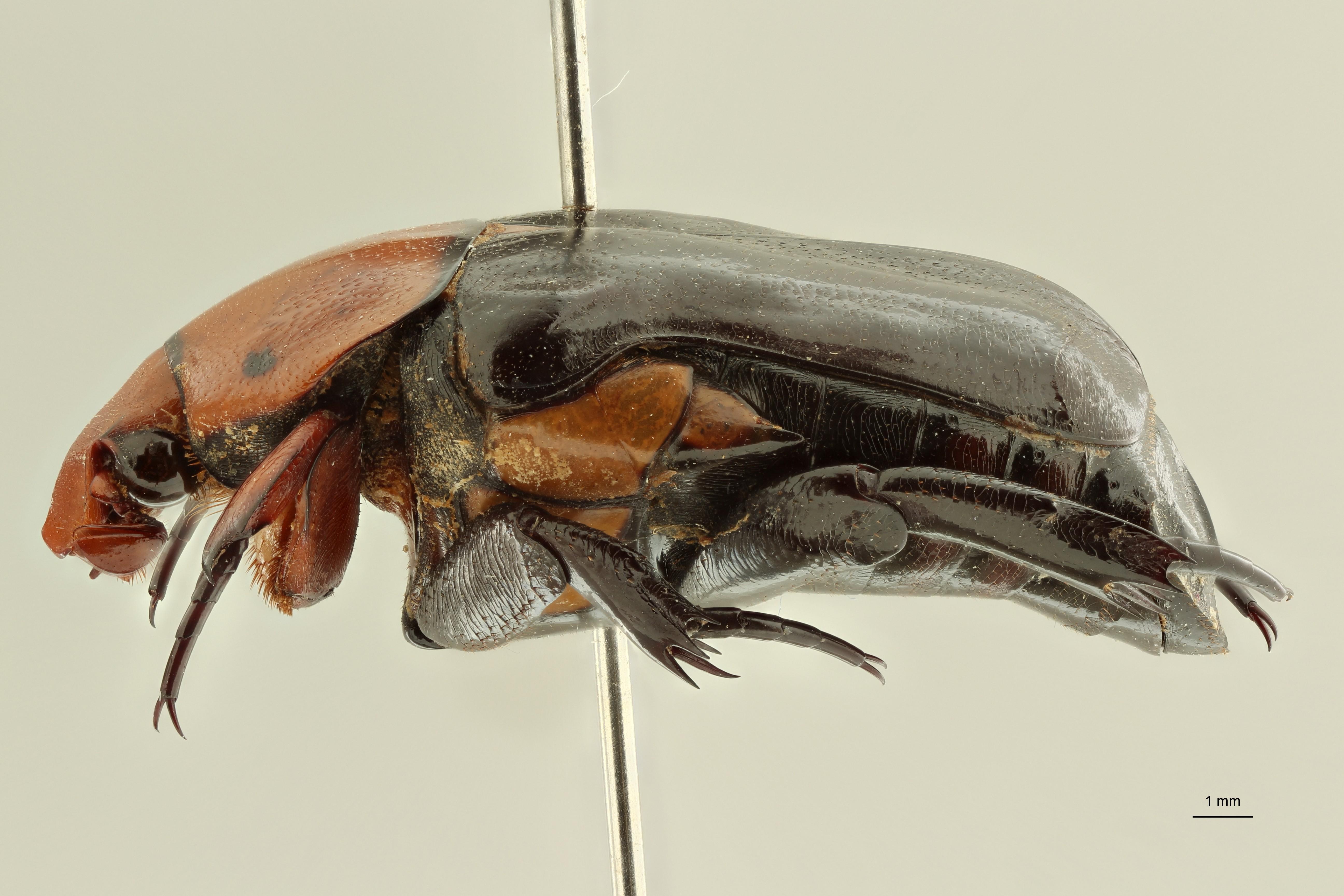 Campsiura nigripennis sumatrana ht L ZS PMax Scaled.jpeg