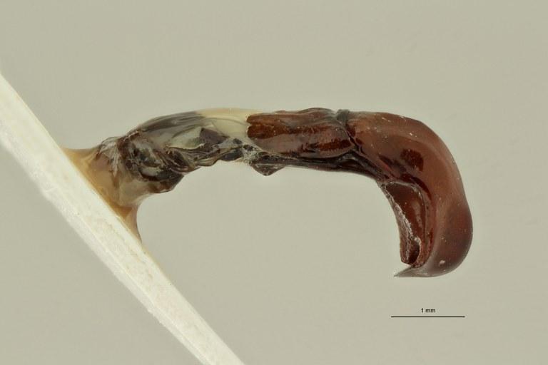 Campsiura nigripennis sumatrana ht LG ZS PMax Scaled.jpeg