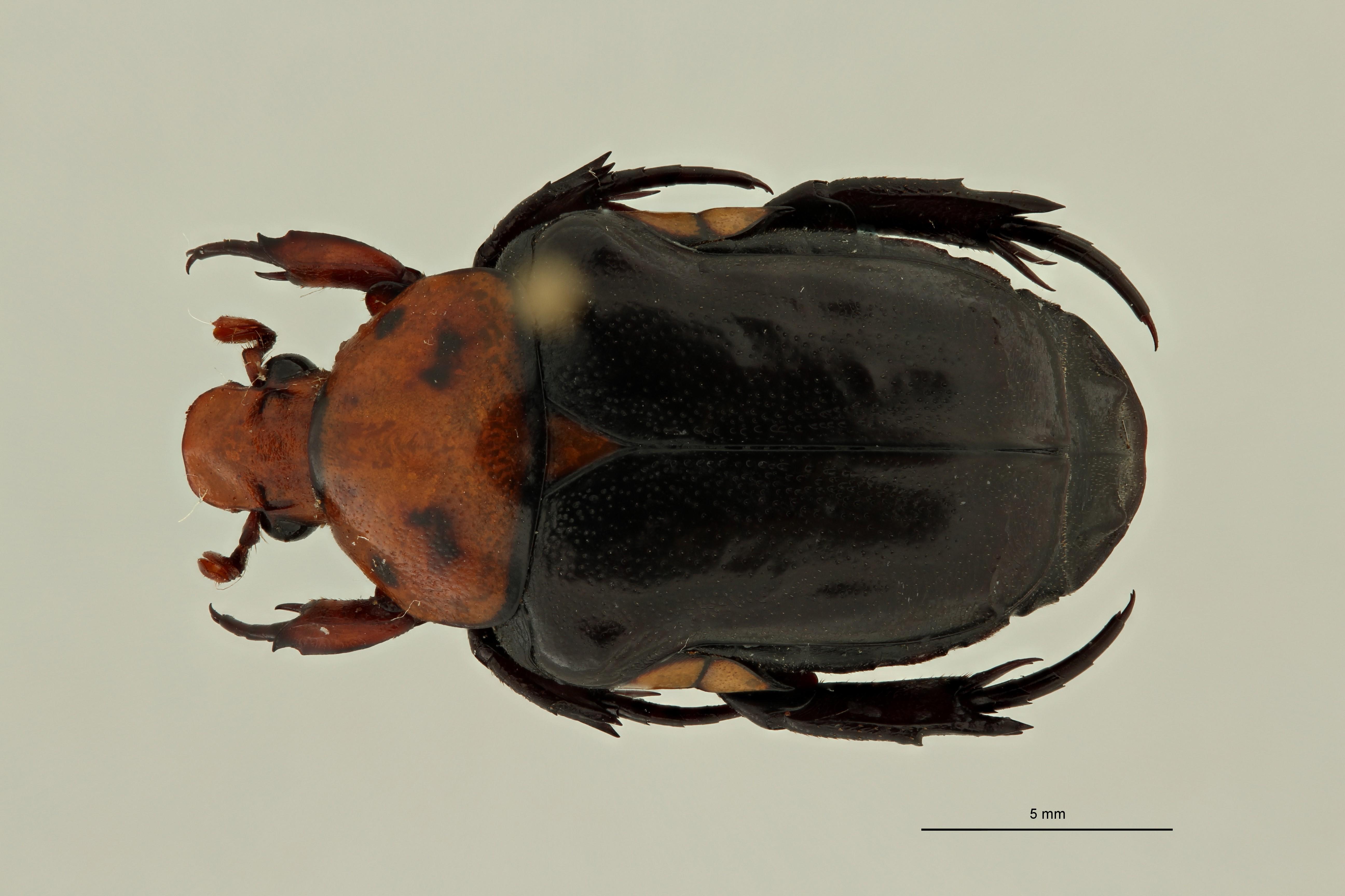 Campsiura nigripennis sumatrana pt D ZS PMax Scaled.jpeg